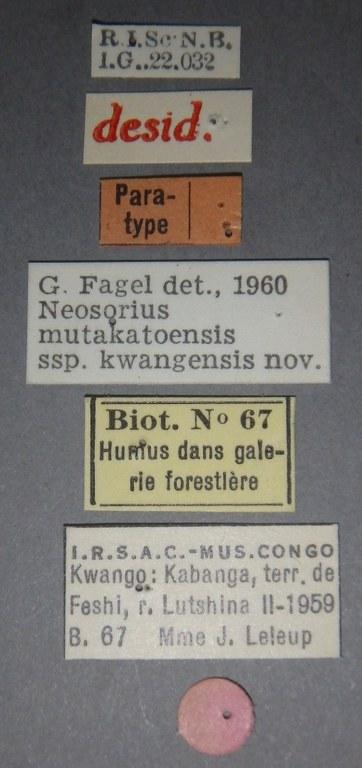 Neosorius mutakatoensis  subspecies kwangensis pt Lb.JPG