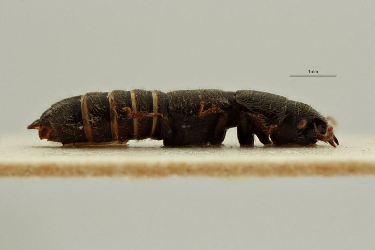 Neosorius rugosicollis pt L ZS PMax Scaled.jpeg