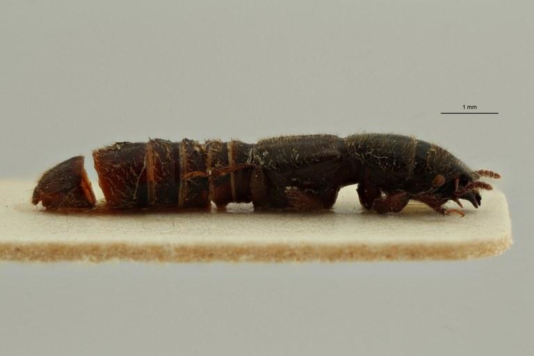 Neosorius schoutedeni pt L ZS PMax Scaled.jpeg
