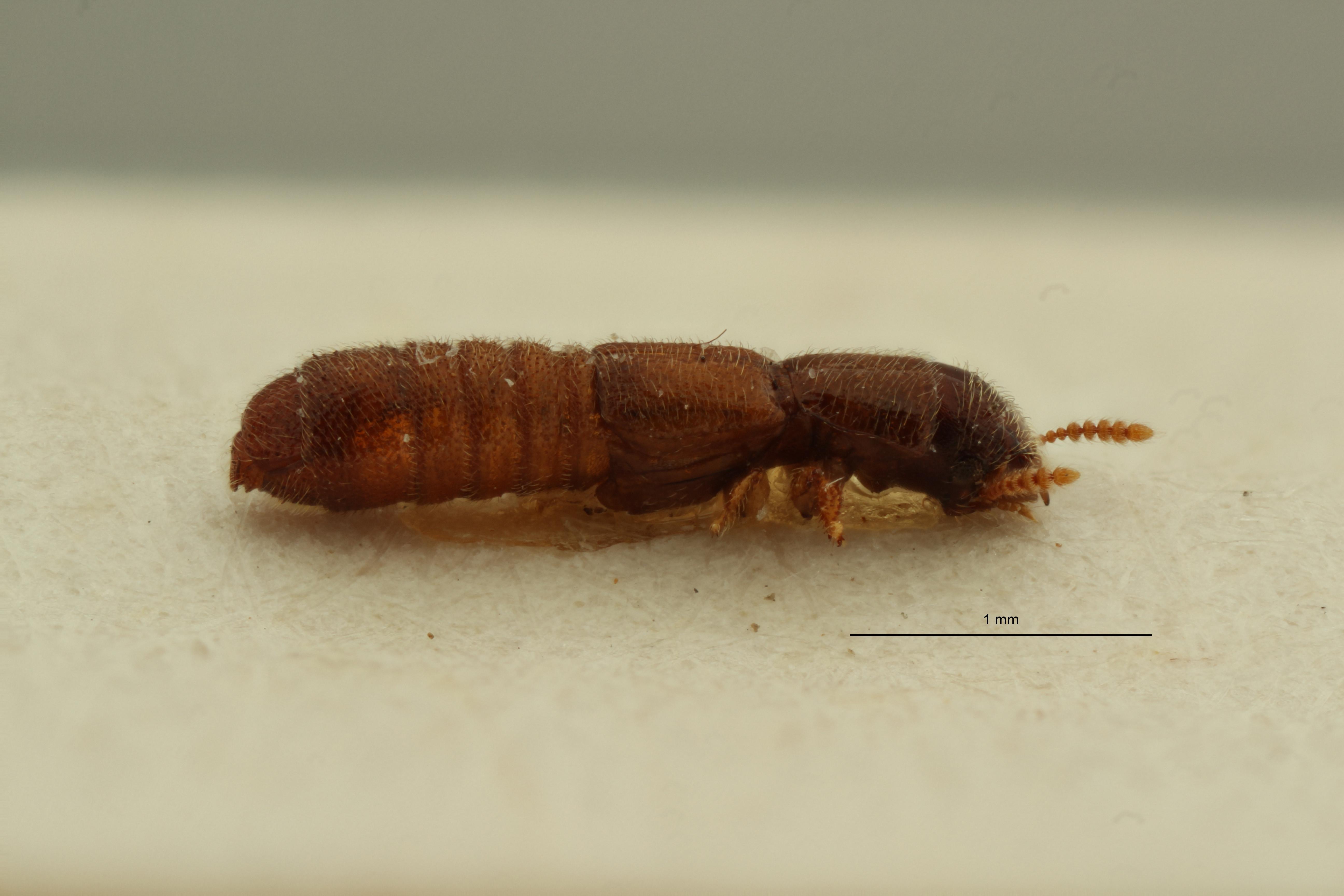 Osoriellus leleupianus pt L ZS PMax Scaled.jpeg