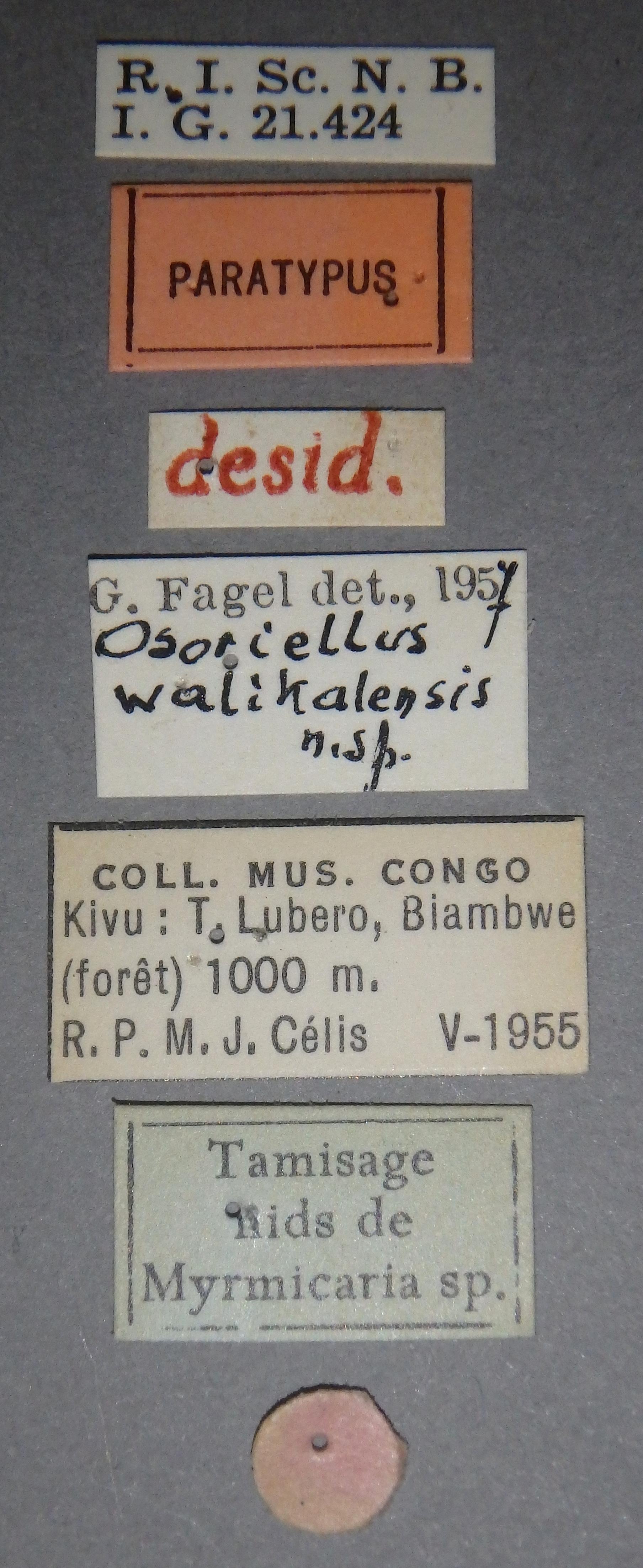 Osoriellus walikalensis pt Lb.JPG