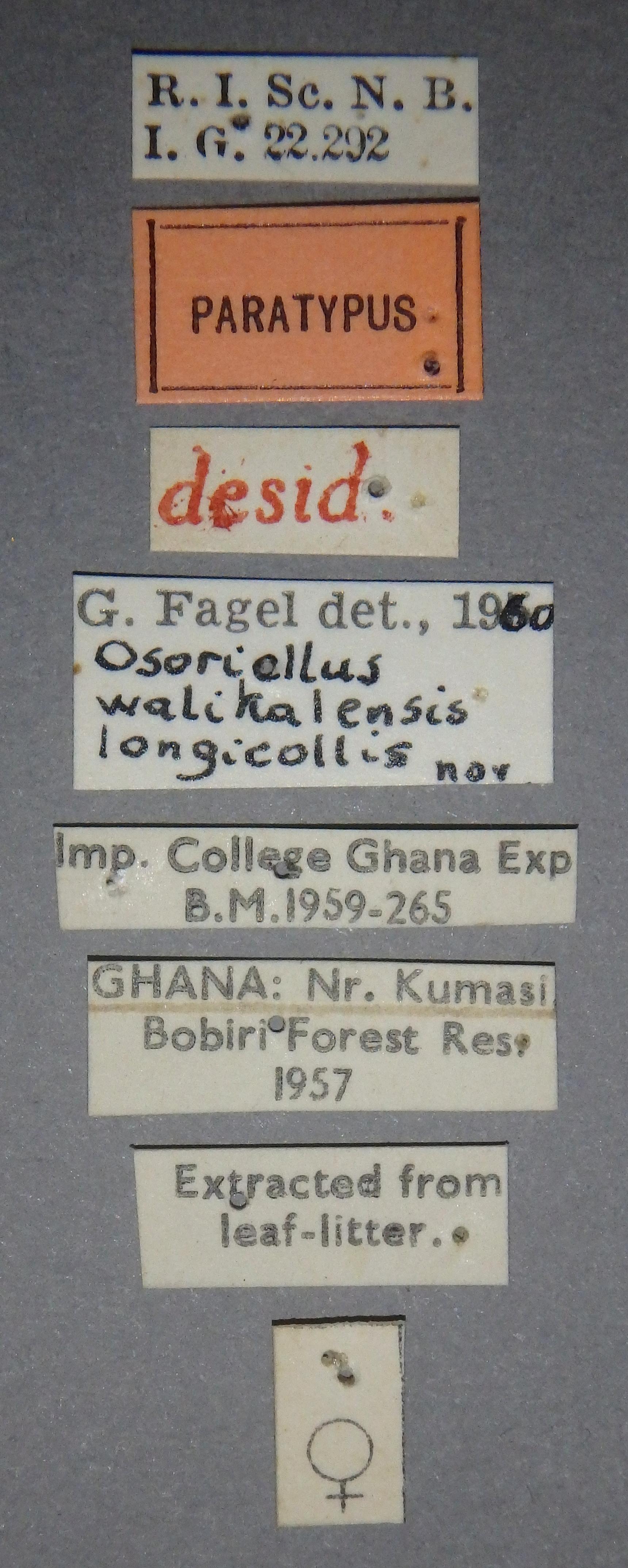 Osoriellus walikalensis longicollis pt Lb.JPG