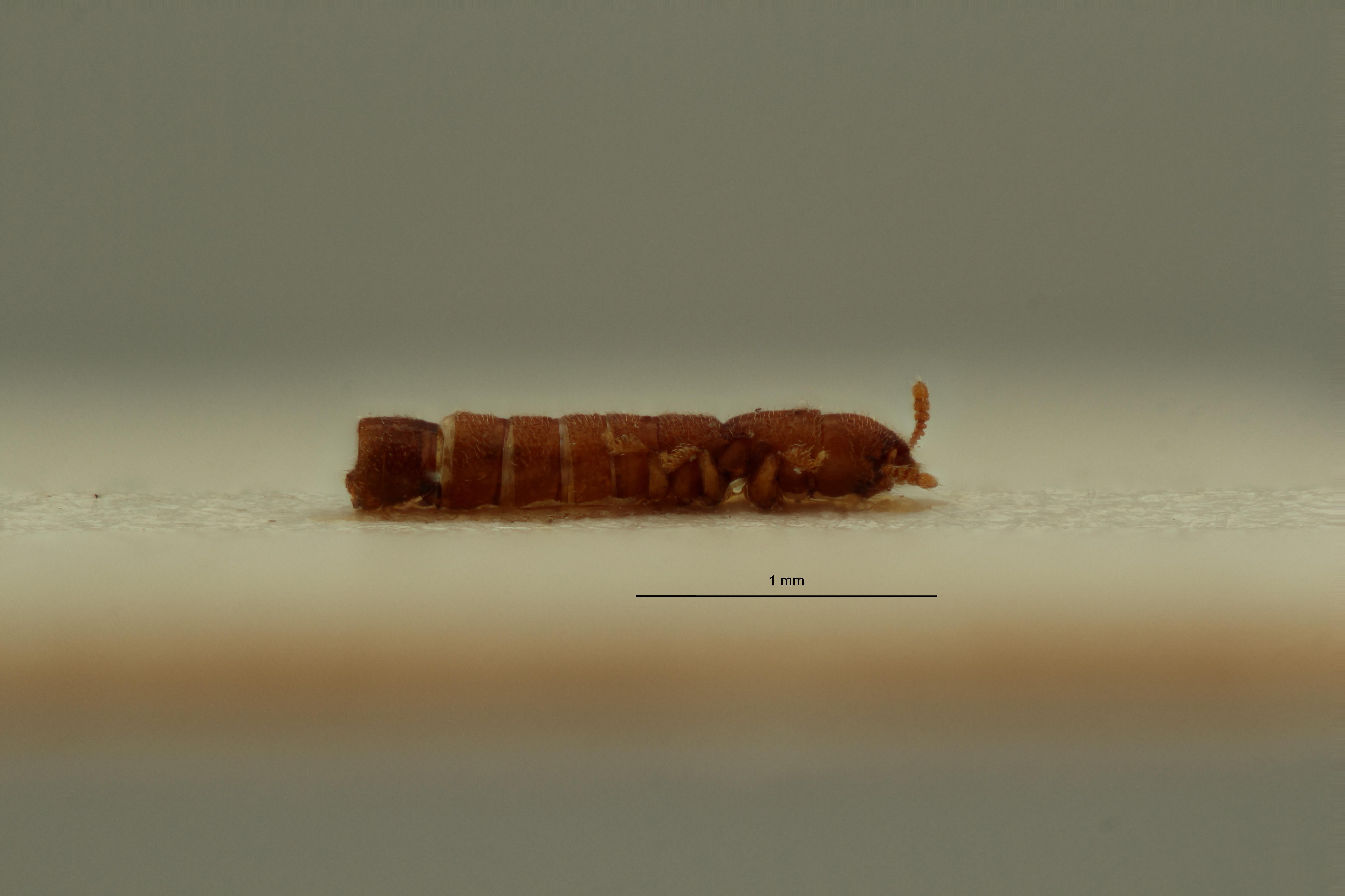 Osoriopsis basilewskyi pt L ZS PMax Scaled.jpeg