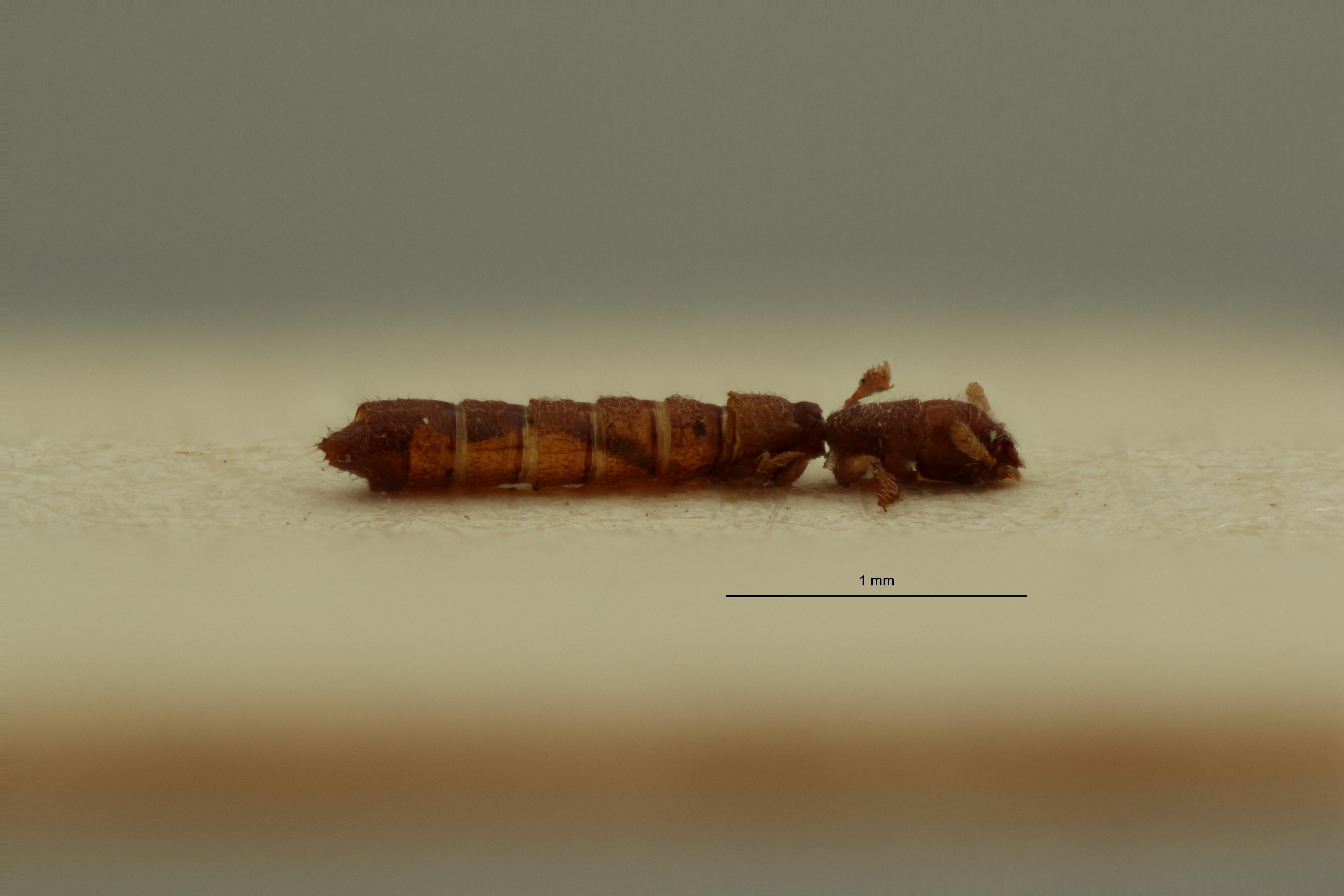 Osoriopsis crassicornis pt L ZS PMax Scaled.jpeg