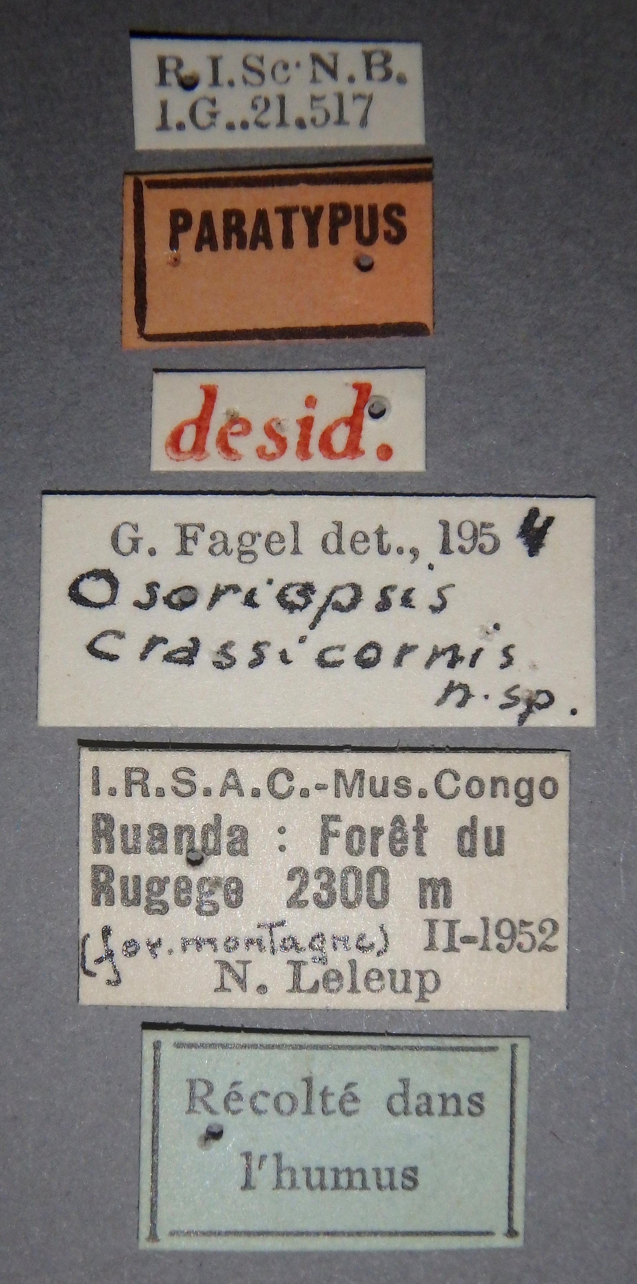 Osoriopsis crassicornis pt Lb.JPG