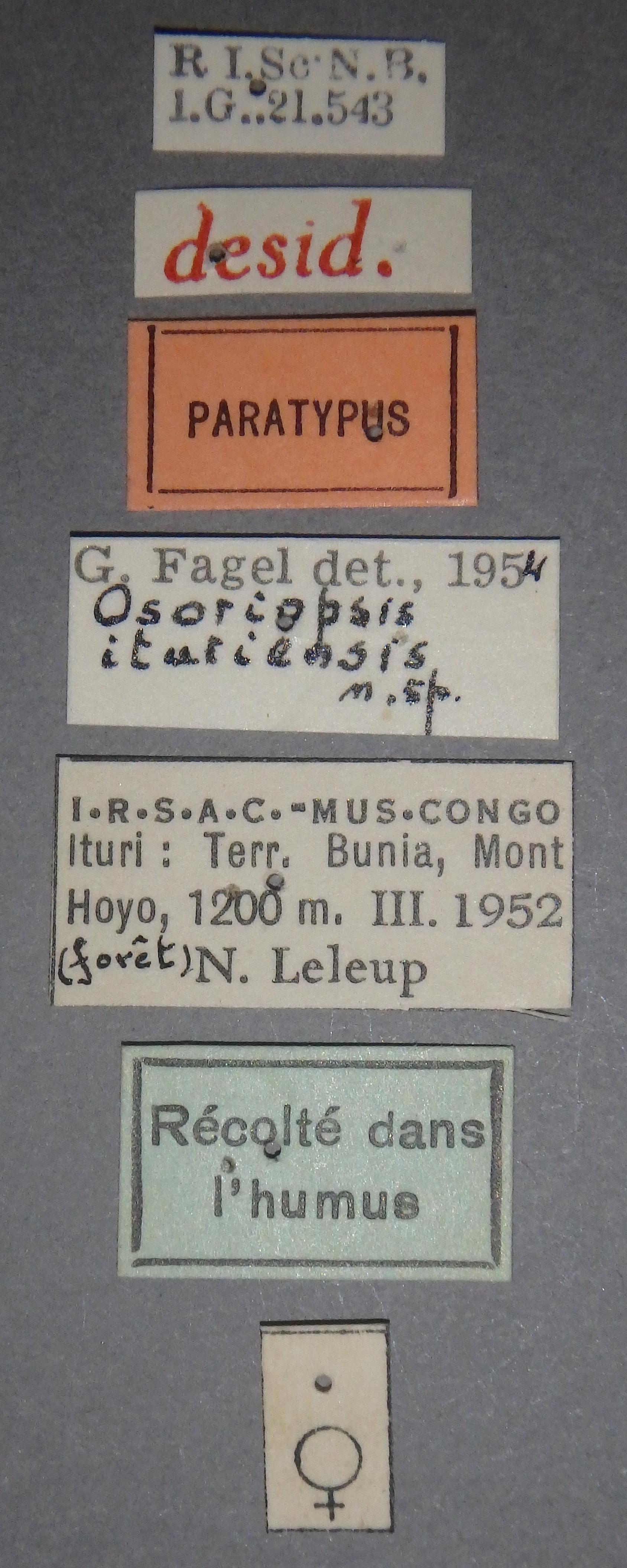 Osoriopsis ituriensis pt Lb.JPG