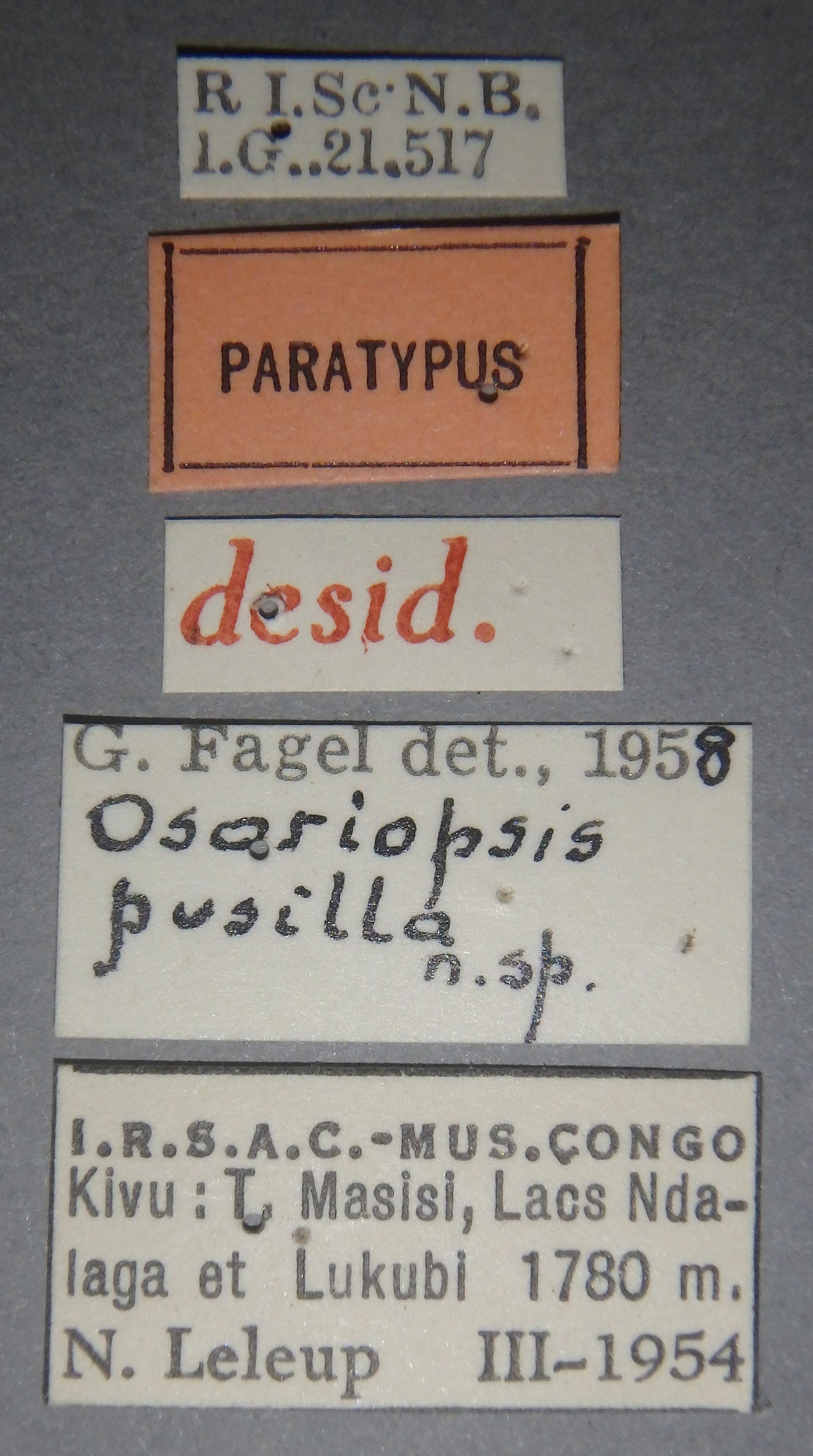 Osoriopsis pusilla pt Lb.JPG