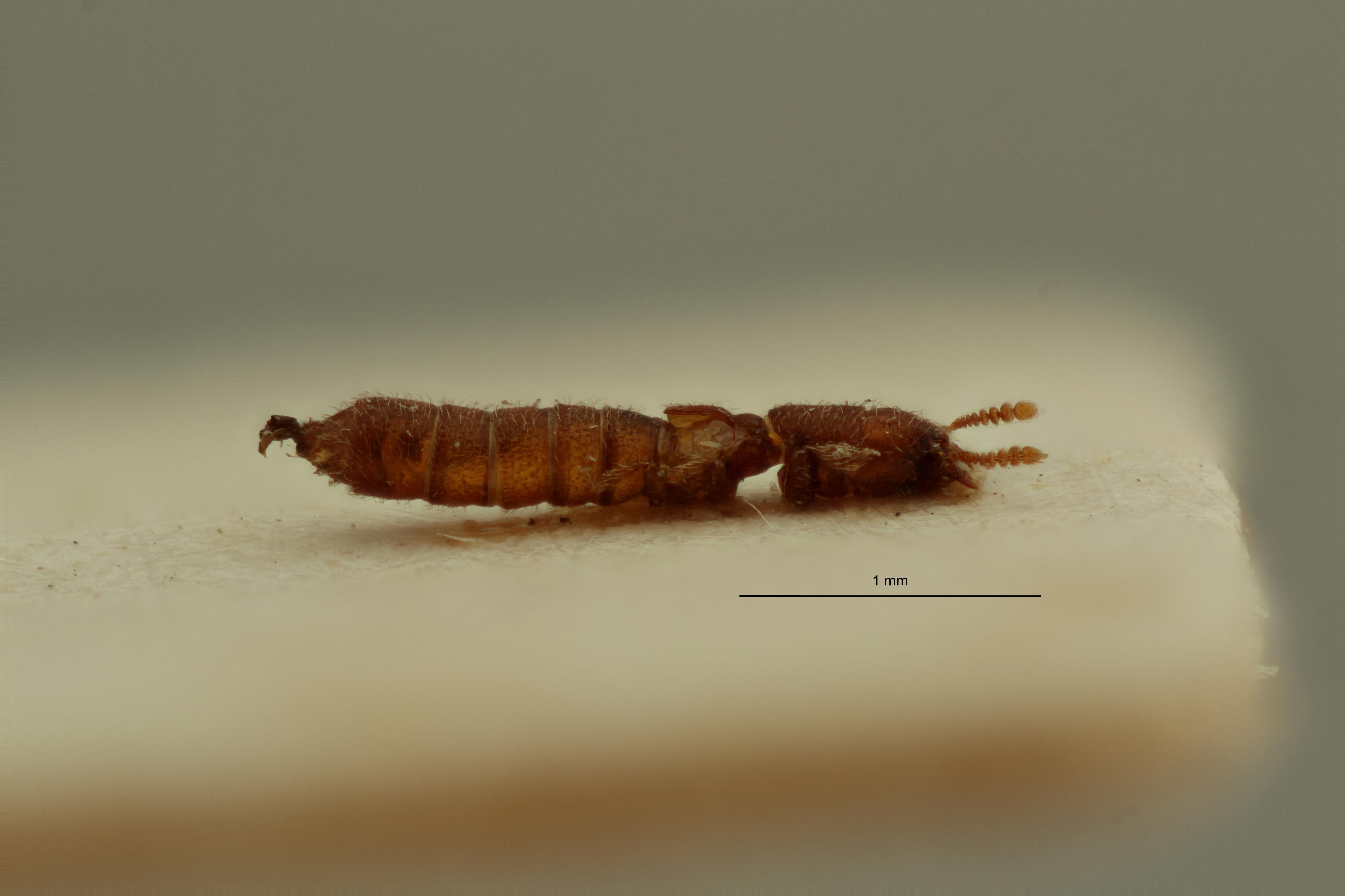 Osoriopsis scabriventris pt L ZS PMax Scaled.jpeg
