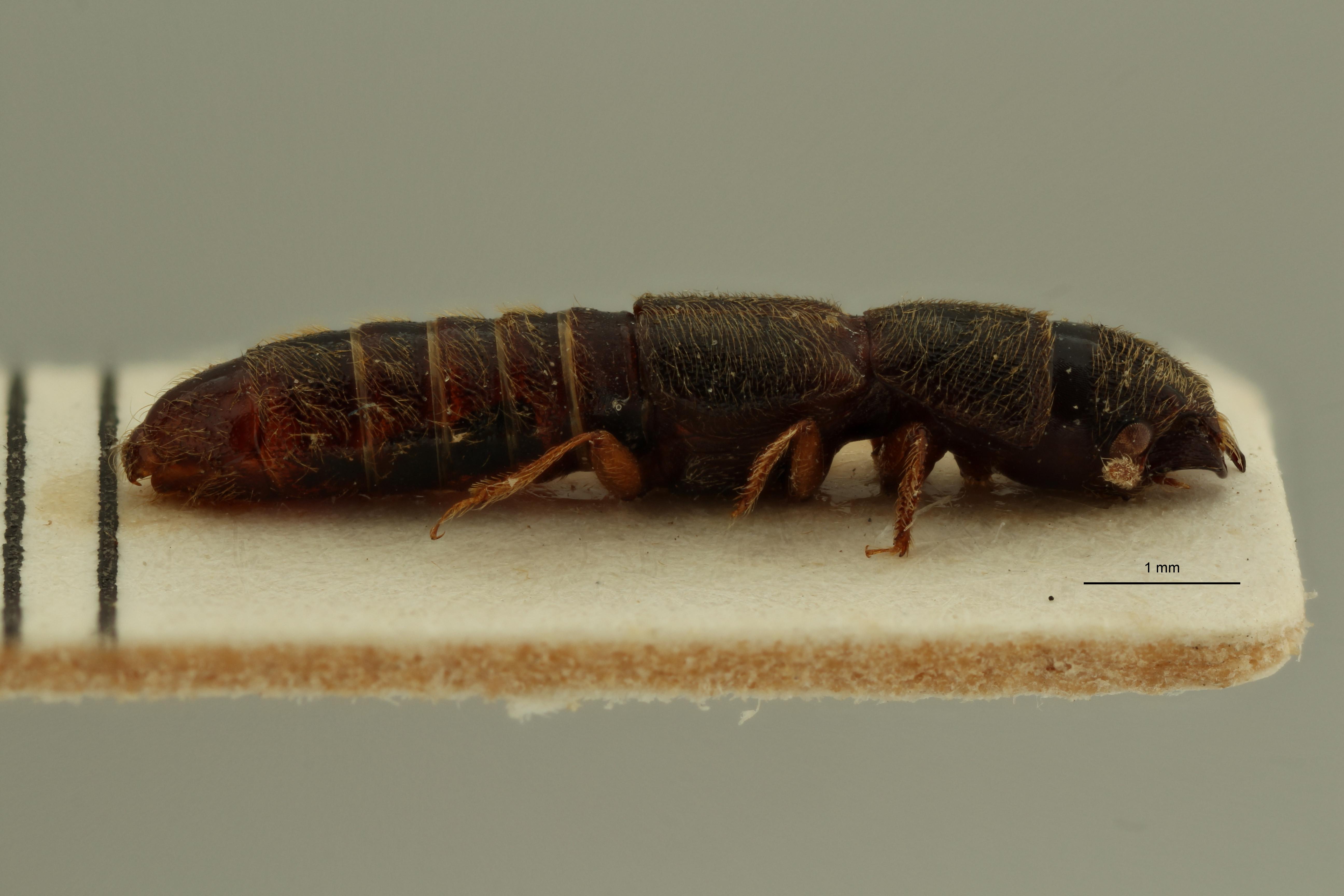 Osorius congoanus pt L ZS PMax Scaled.jpeg