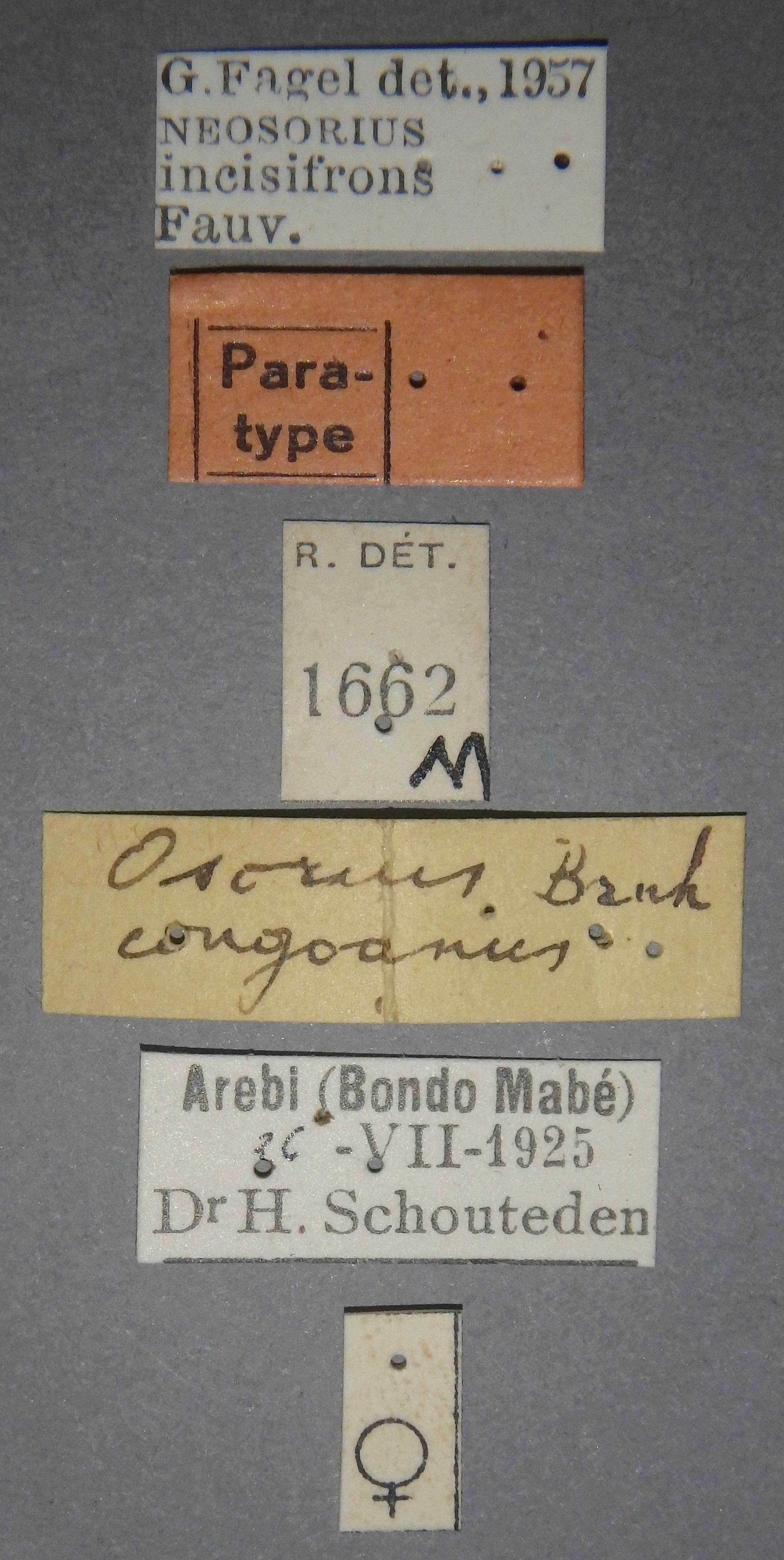 Osorius congoanus pt Lb.JPG