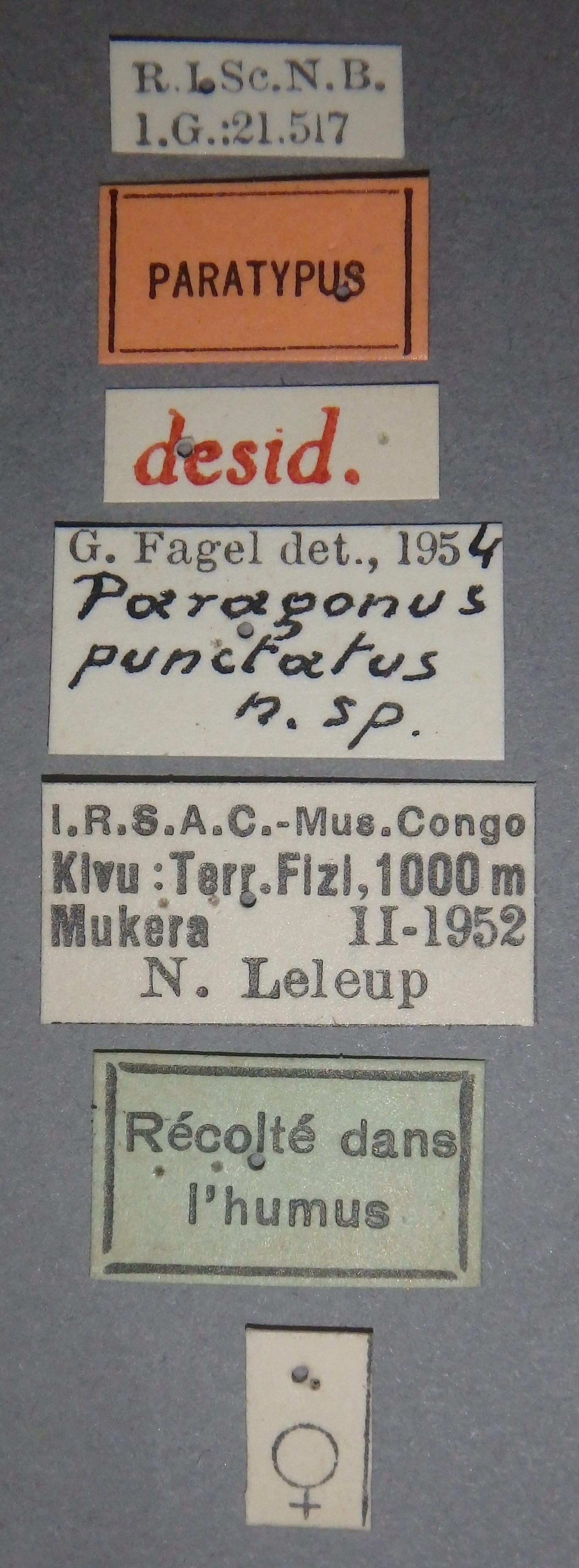 Paragonus punctatus pt Lb.JPG