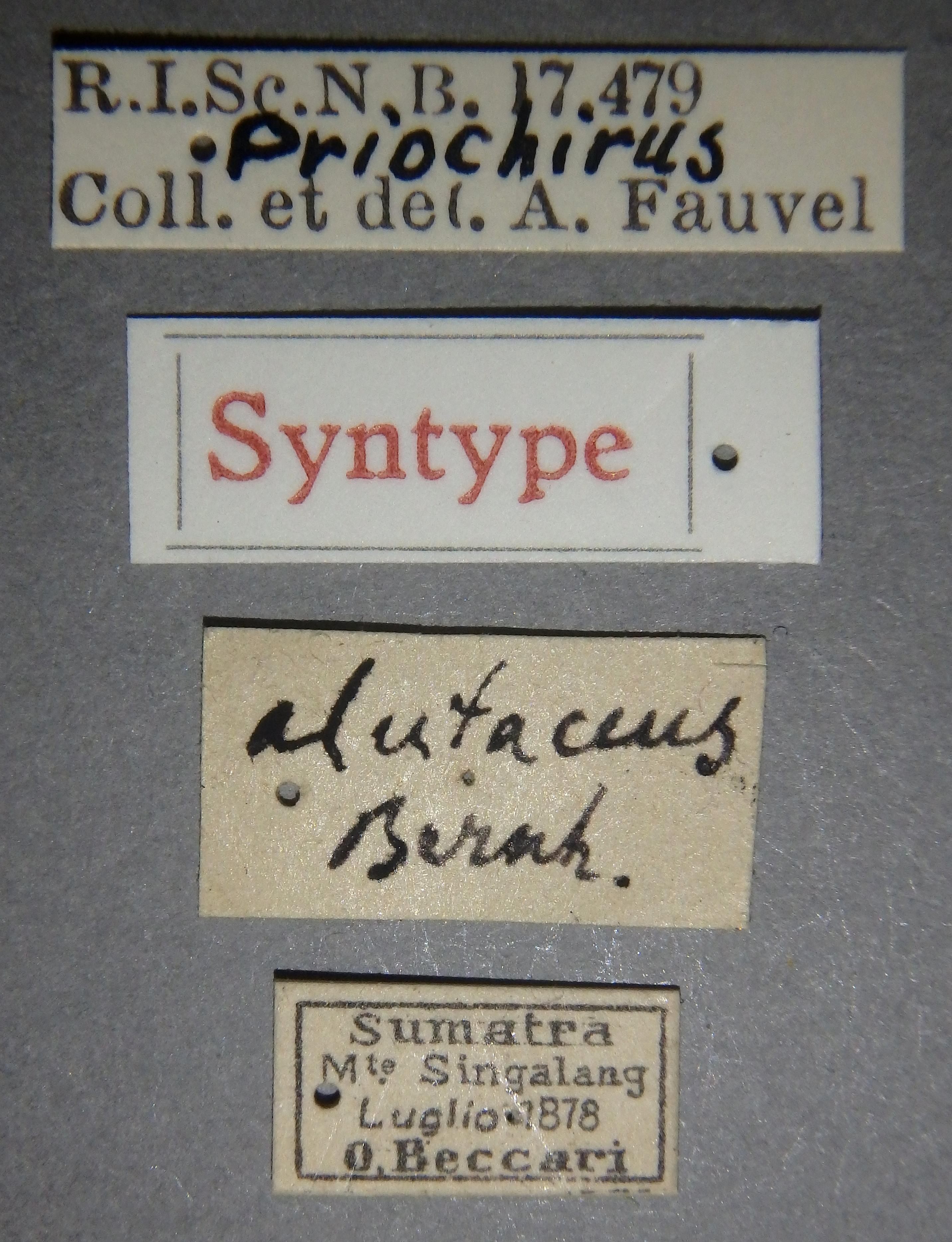 Priochirus alutaceus st Lb.JPG
