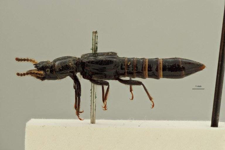 Priochirus antennarius st L ZS PMax Scaled.jpeg