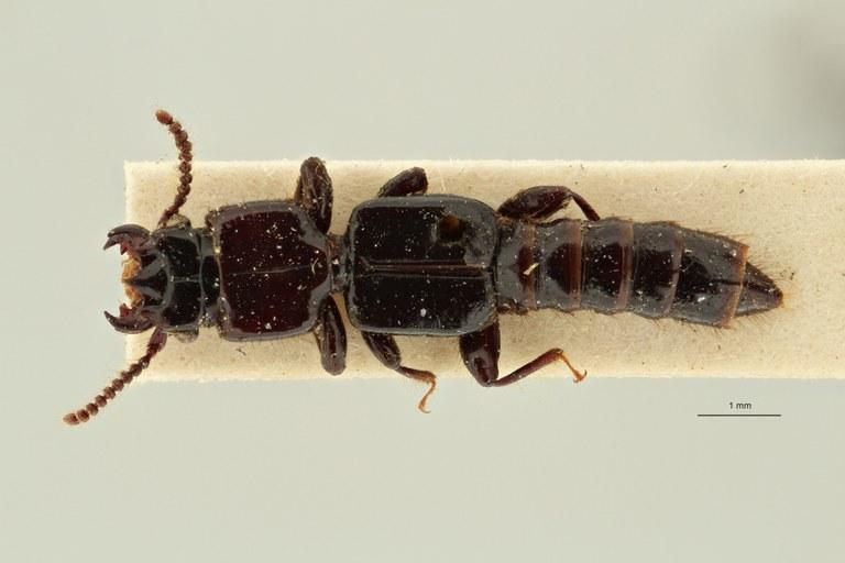 Priochirus bifurcatus st D ZS PMax Scaled.jpeg