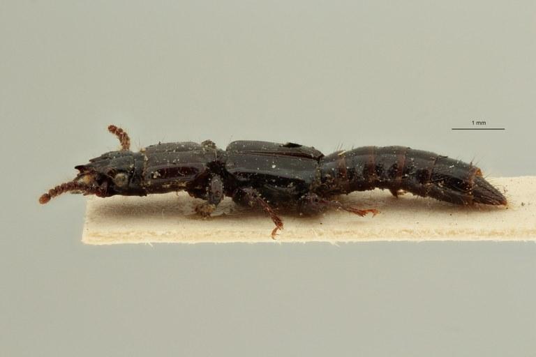 Priochirus bifurcatus st L ZS PMax Scaled.jpeg