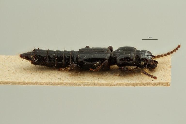 Priochirus caviceps t L ZS PMax Scaled.jpeg