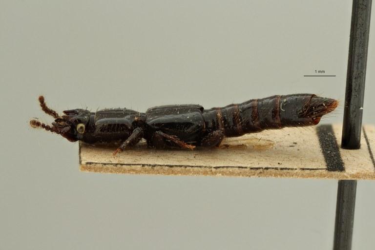 Priochirus cavifrons st L ZS PMax Scaled.jpeg