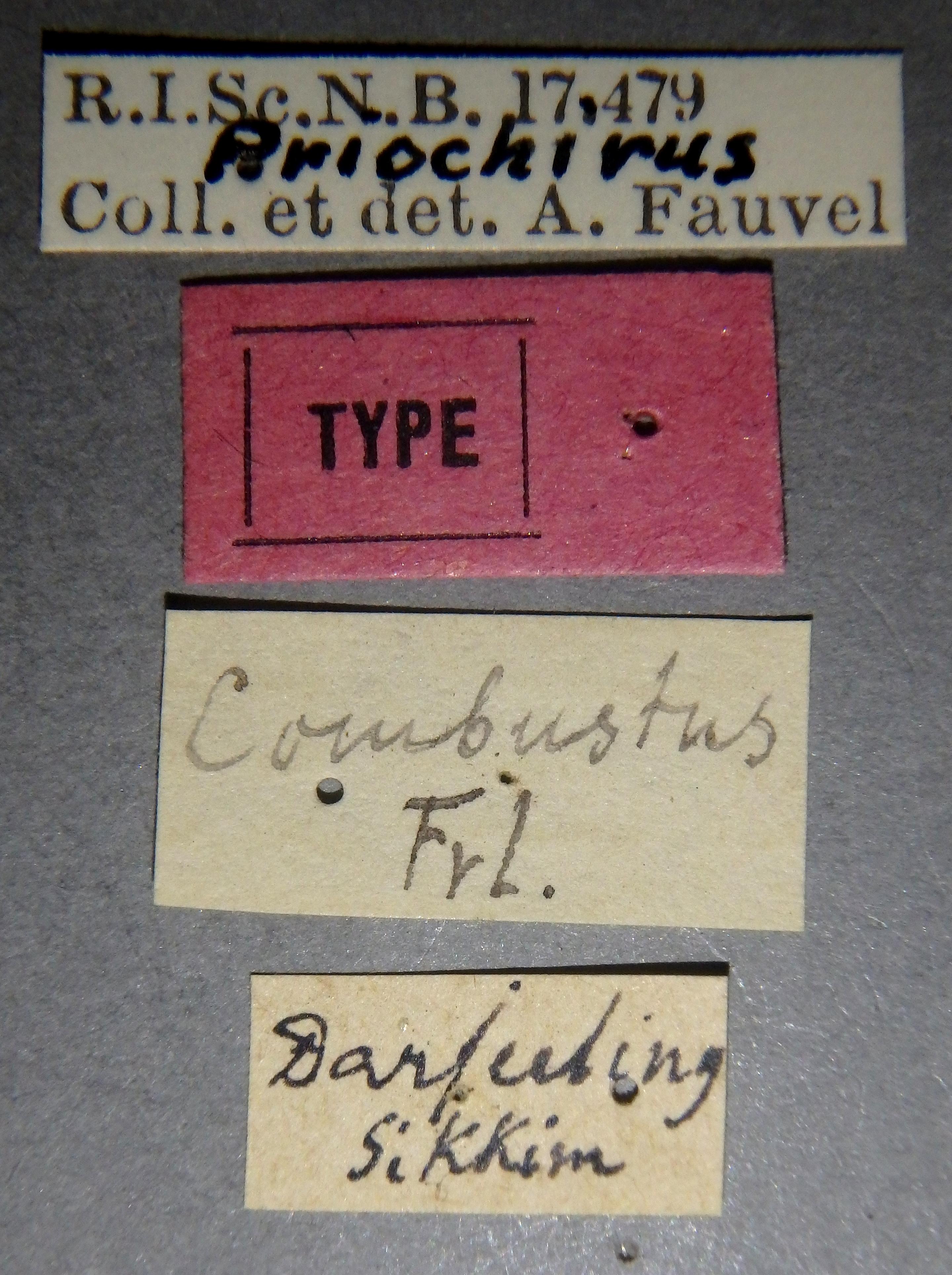 Priochirus combustus t Lb.JPG