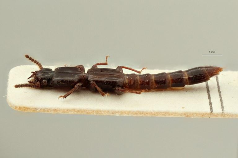 Priochirus doriae st L ZS PMax Scaled.jpeg