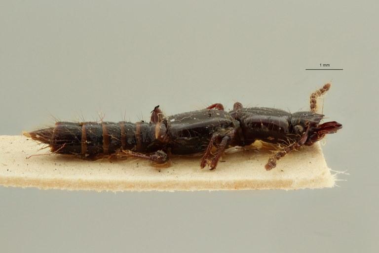 Priochirus exaratus st L ZS PMax Scaled.jpeg