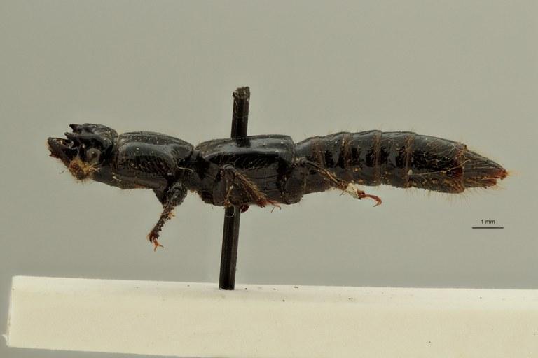 Priochirus forticornis st L ZS PMax Scaled.jpeg