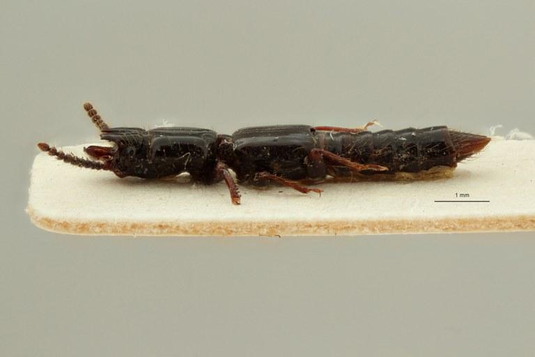Priochirus galeatus t L ZS PMax Scaled.jpeg