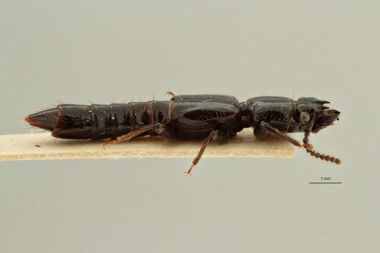 Priochirus heterodon st L ZS PMax Scaled.jpeg