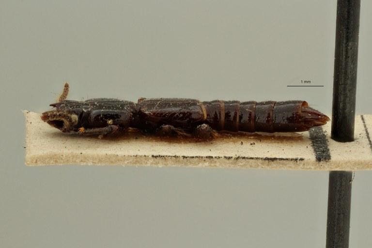 Priochirus luzonicus t L ZS PMax Scaled.jpeg