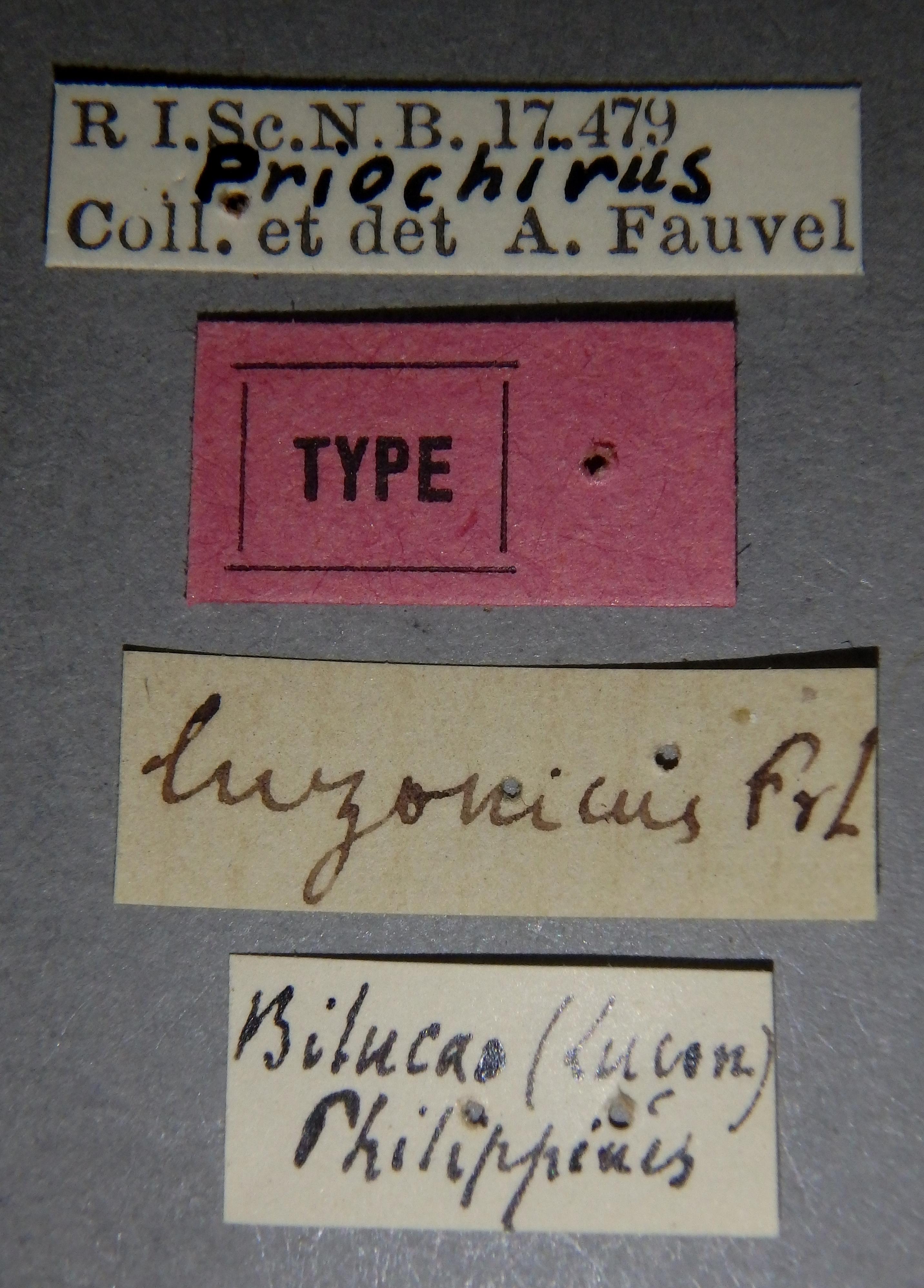 Priochirus luzonicus t Lb.JPG