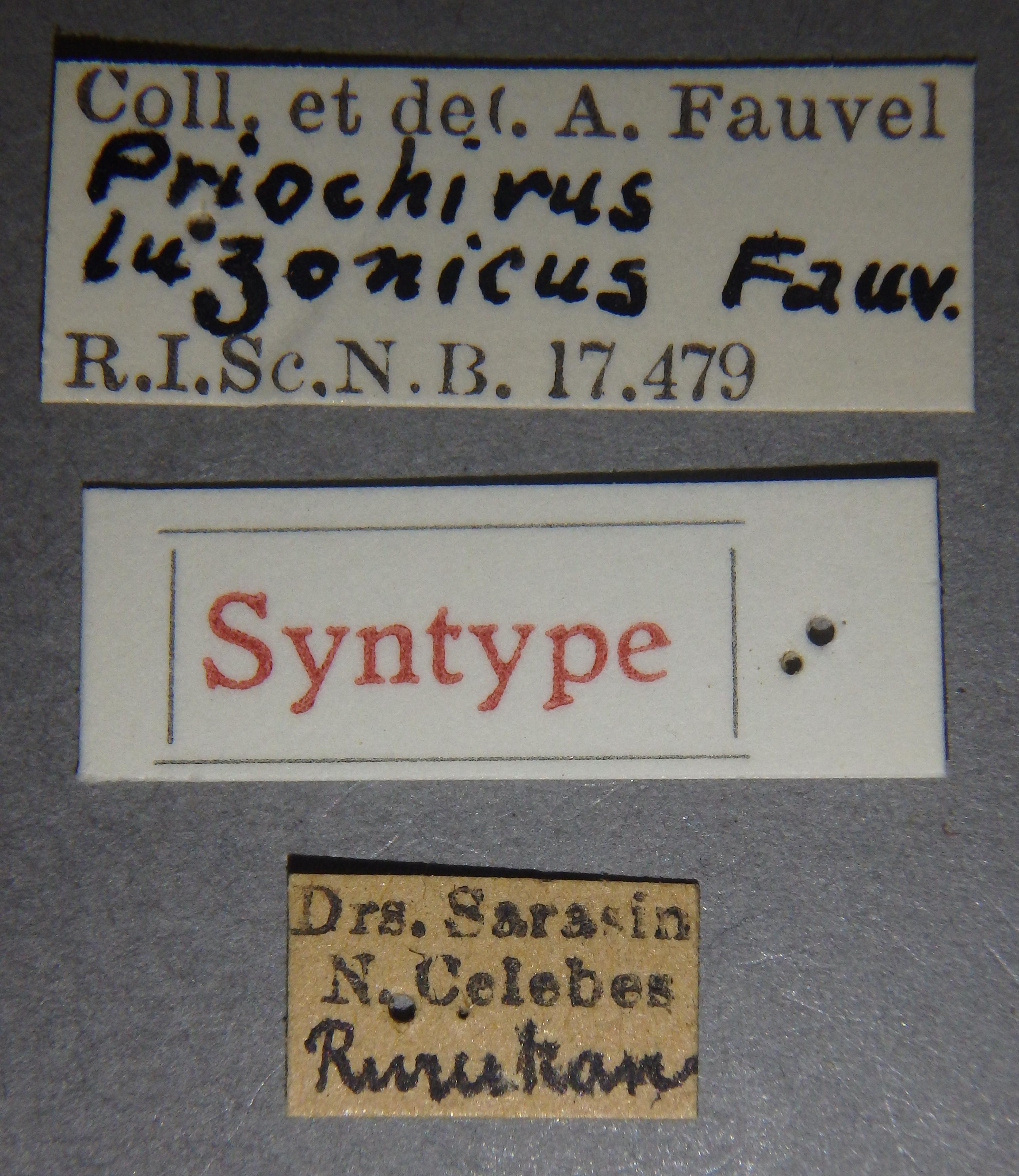 Priochirus luzonicus st Lb.JPG