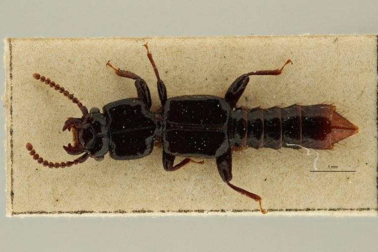 Priochirus modiglianii st D ZS PMax Scaled.jpeg