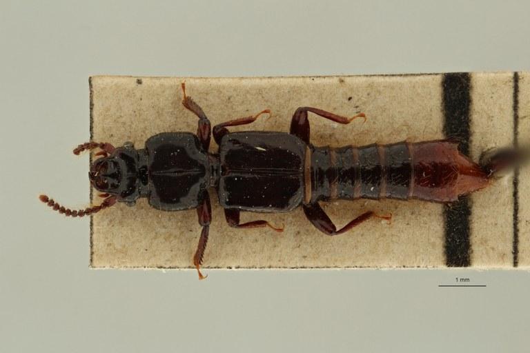 Priochirus modiglianii variety punctiventris st D ZS PMax Scaled.jpeg