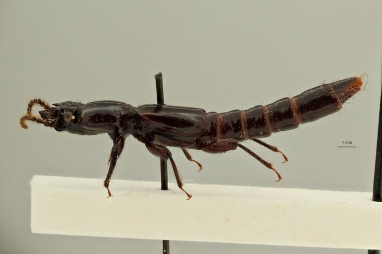 Priochirus politiventris t L ZS PMax Scaled.jpeg