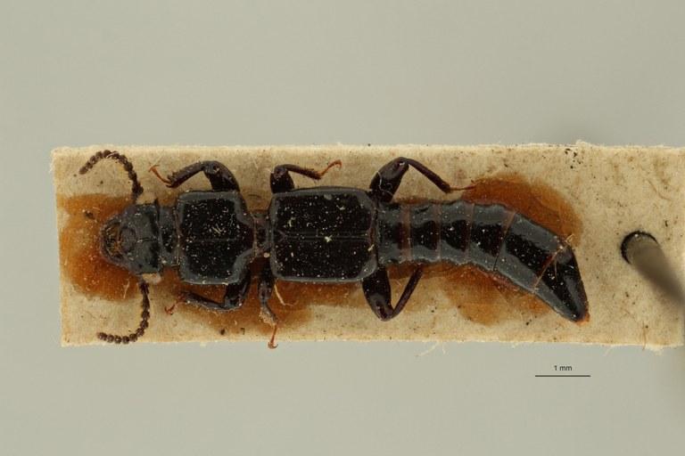 Priochirus quadrifidus st D ZS PMax Scaled.jpeg
