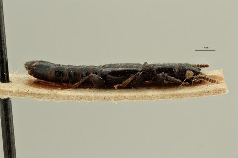 Priochirus quadrifidus st L ZS PMax Scaled.jpeg