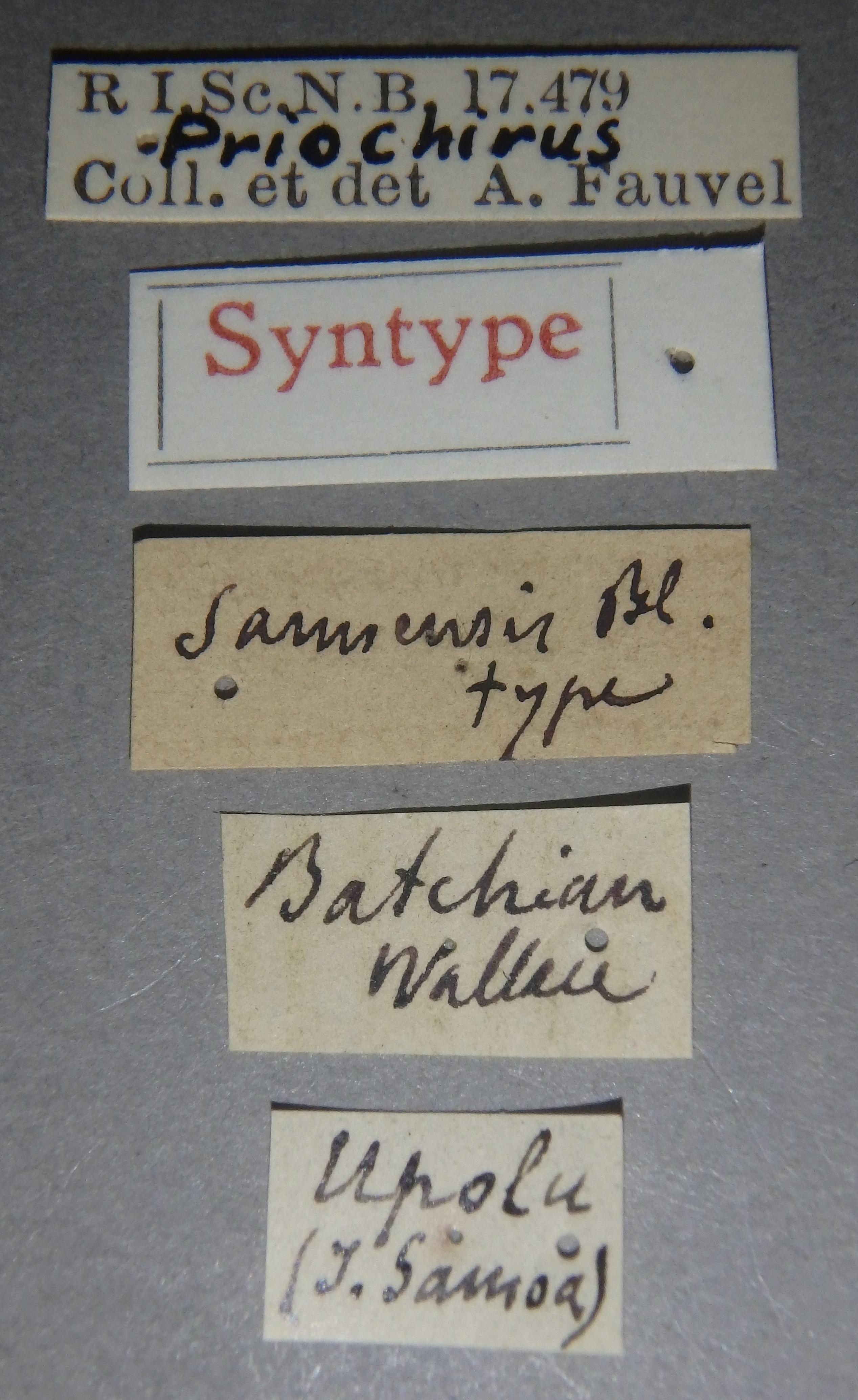 Priochirus samoensis st Lb.JPG