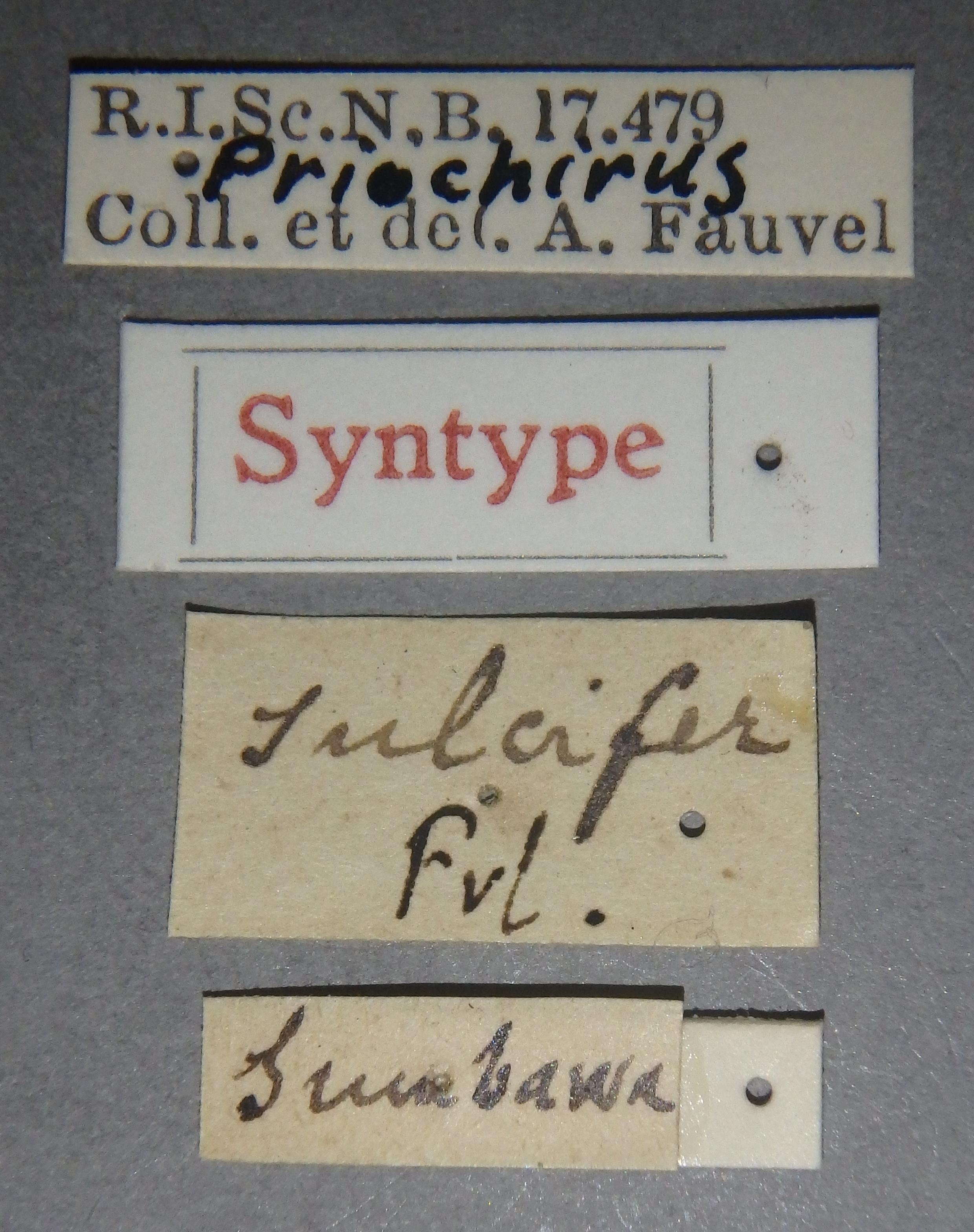 Priochirus sulcifer st Lb.JPG