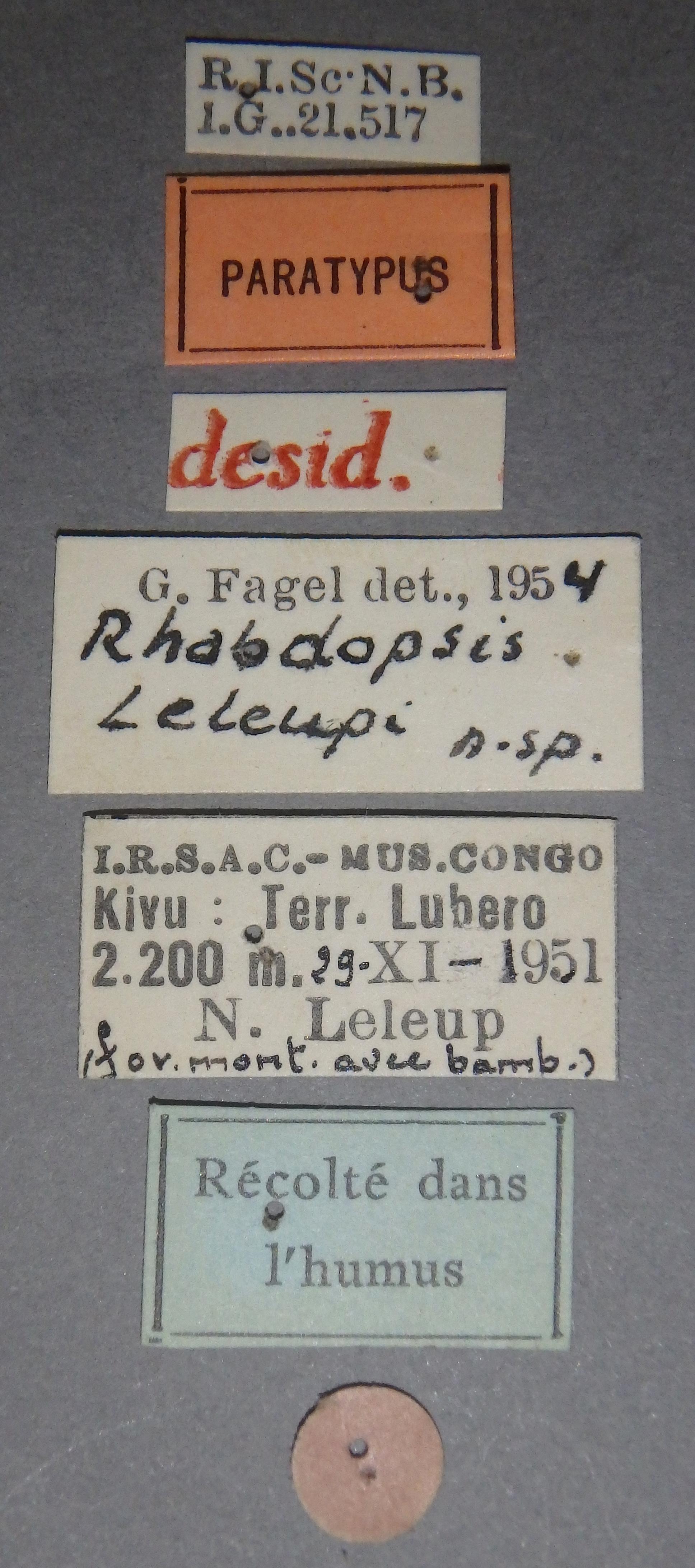 Rhabdopsis leleupi pt Lb.JPG
