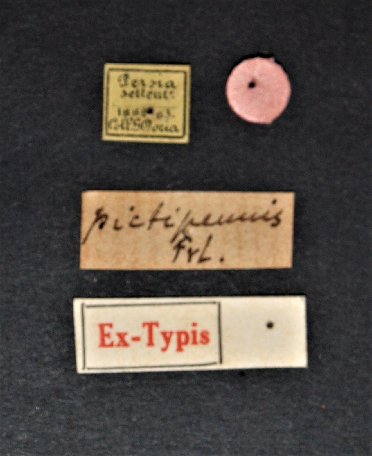 Astenus (Astenus) pictipennis ex t.JPG