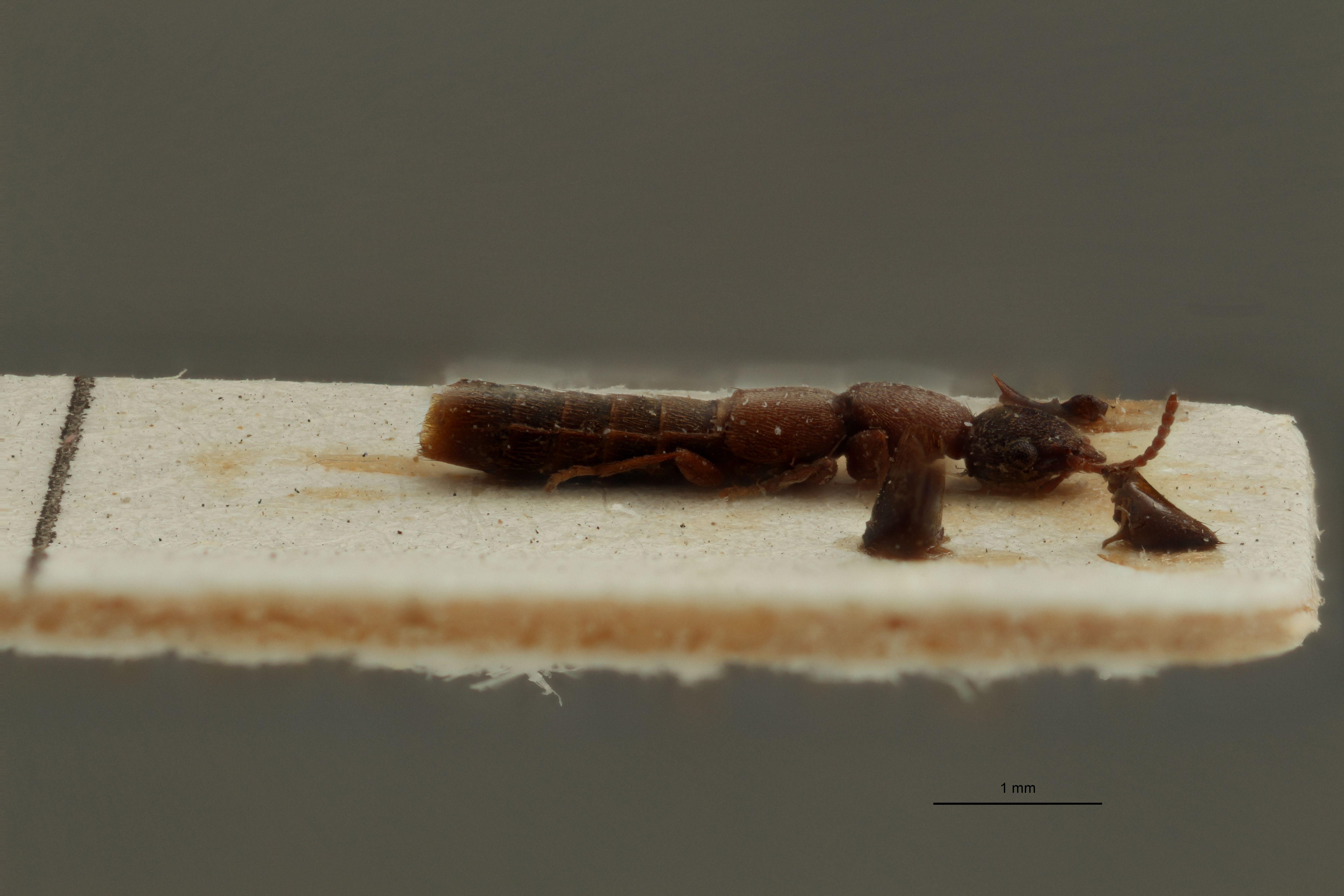 Astenus (Eurysunius) siculus ex t L.jpg