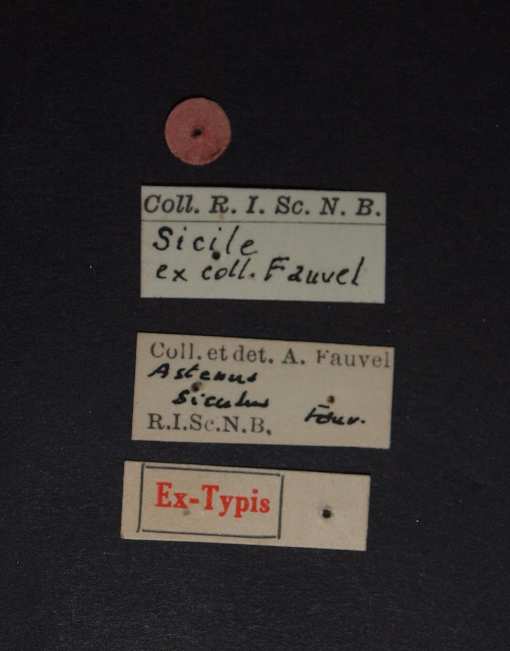 Astenus (Eurysunius) siculus ex t.JPG