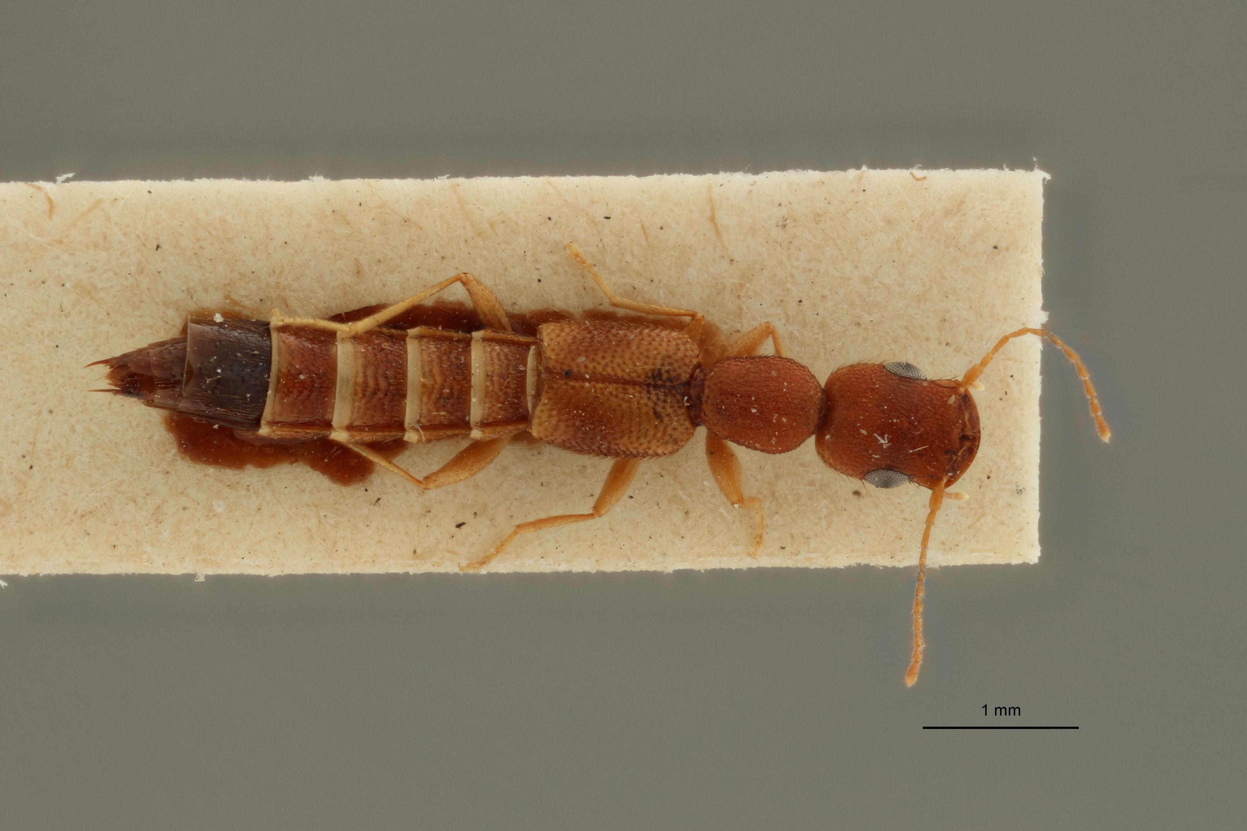 Astenus notatellus ex t D.jpg