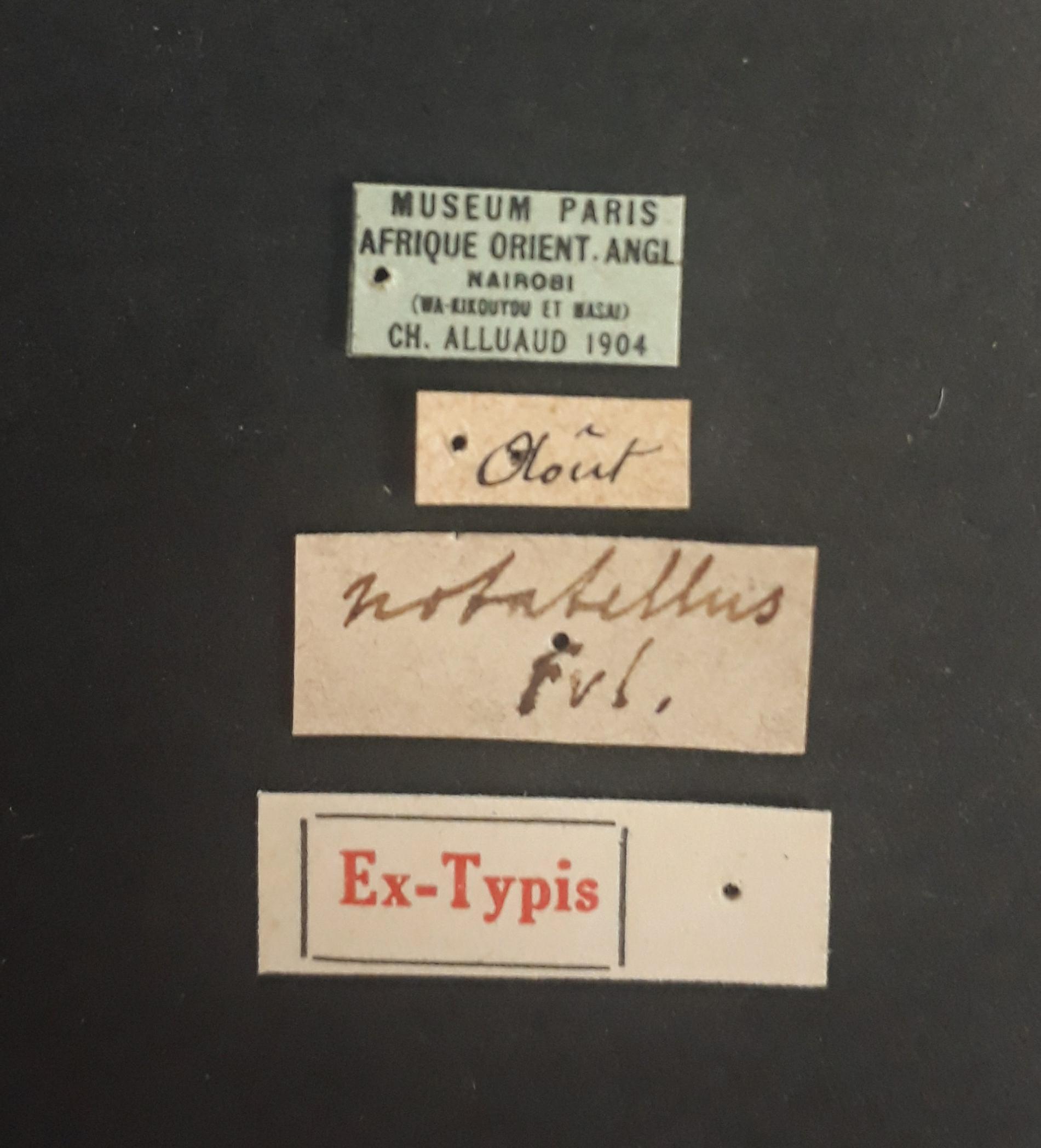Astenus notatellus ex t.jpg