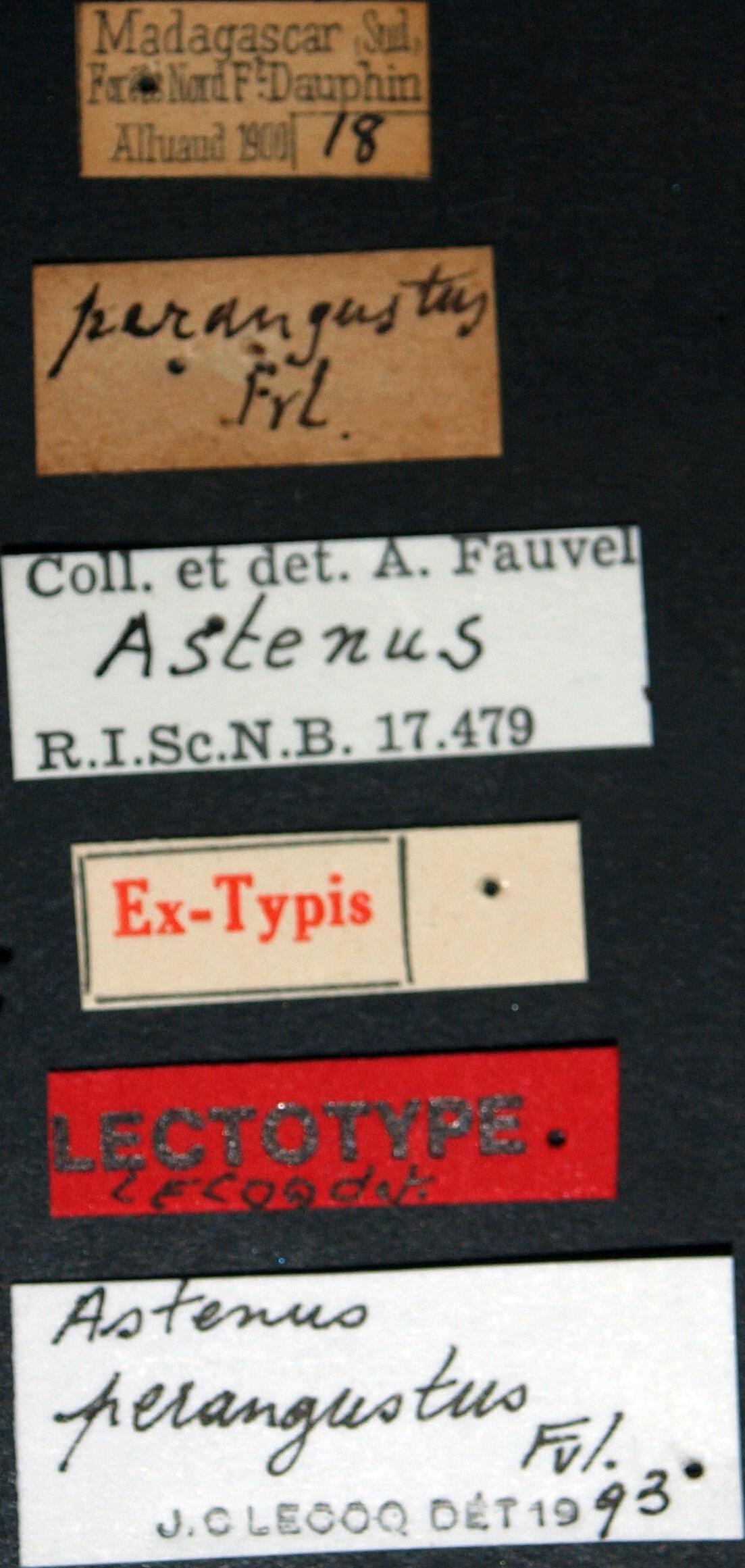 Astenus perangustus lt.JPG