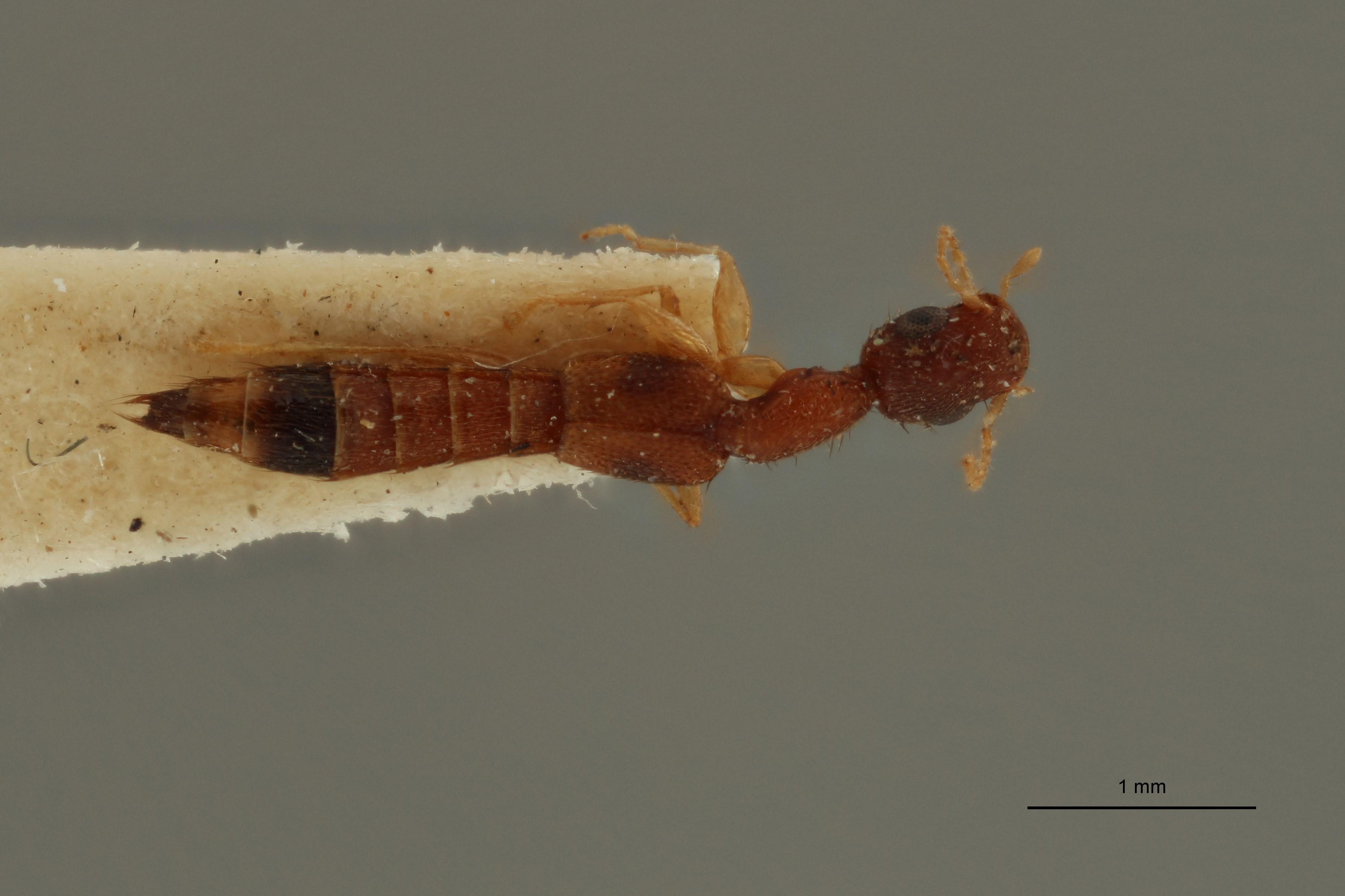 Astenus signatus ex t D.jpg