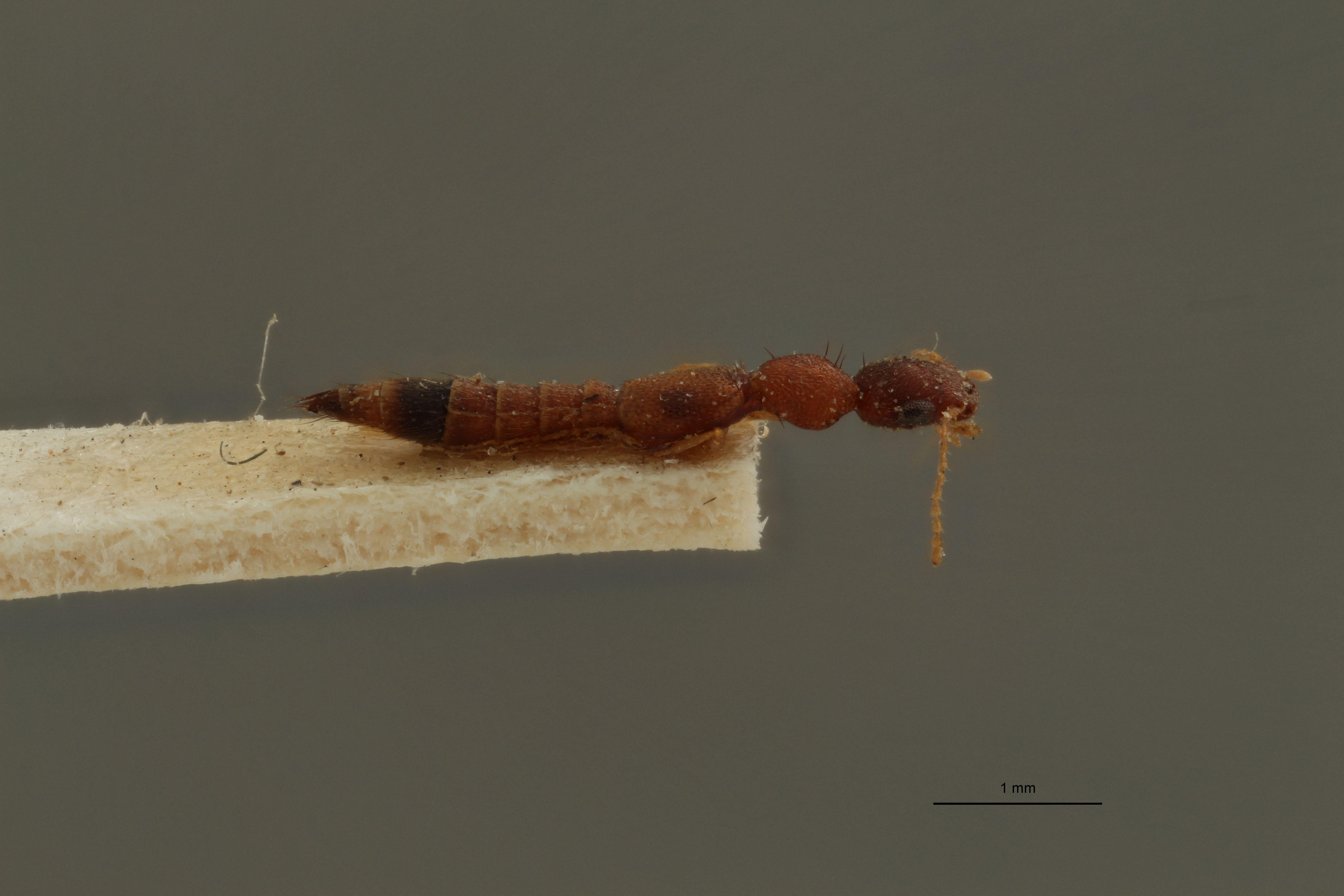 Astenus signatus ex t L.jpg