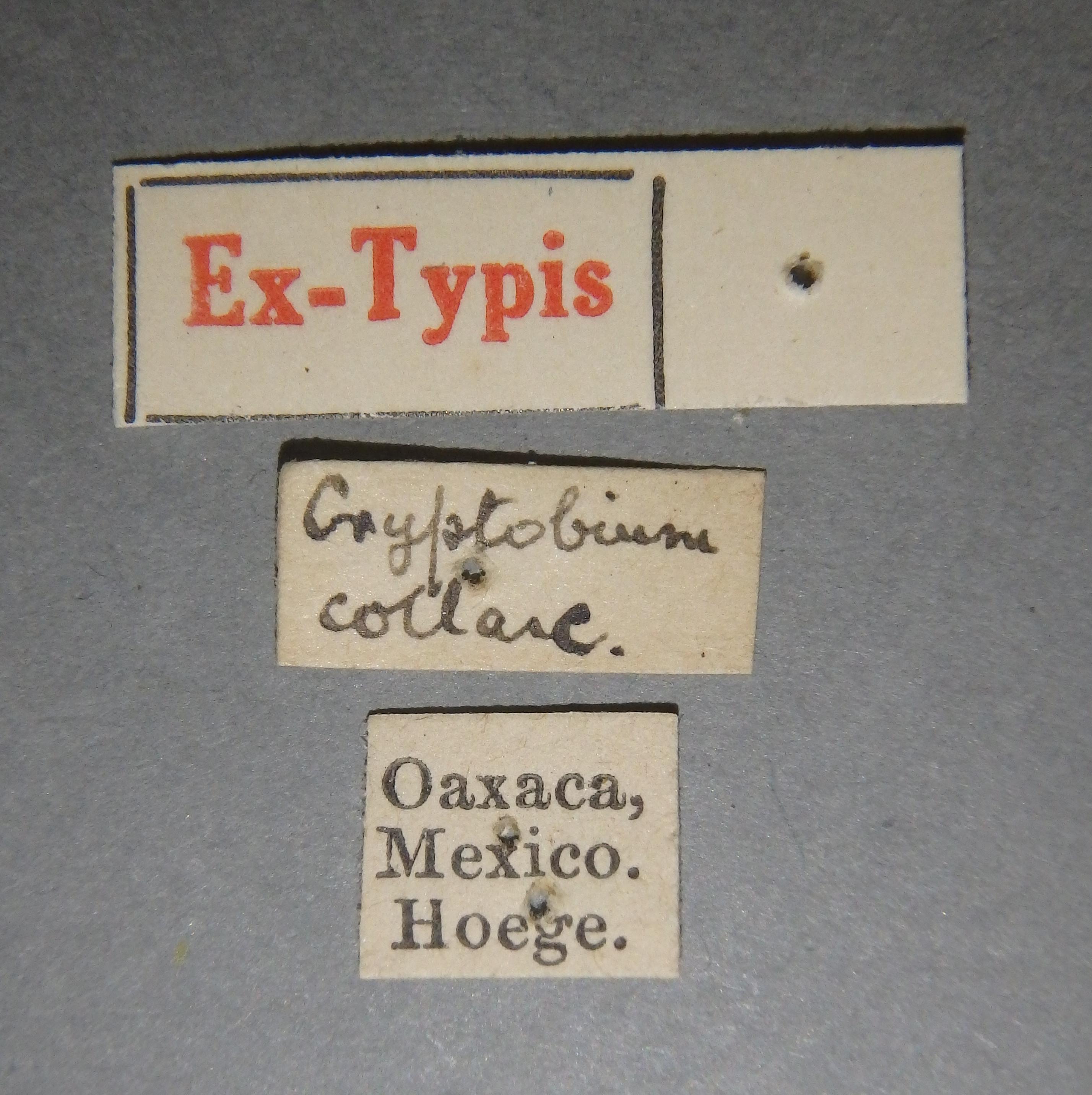 Cryptobium collare et2 Lb.JPG