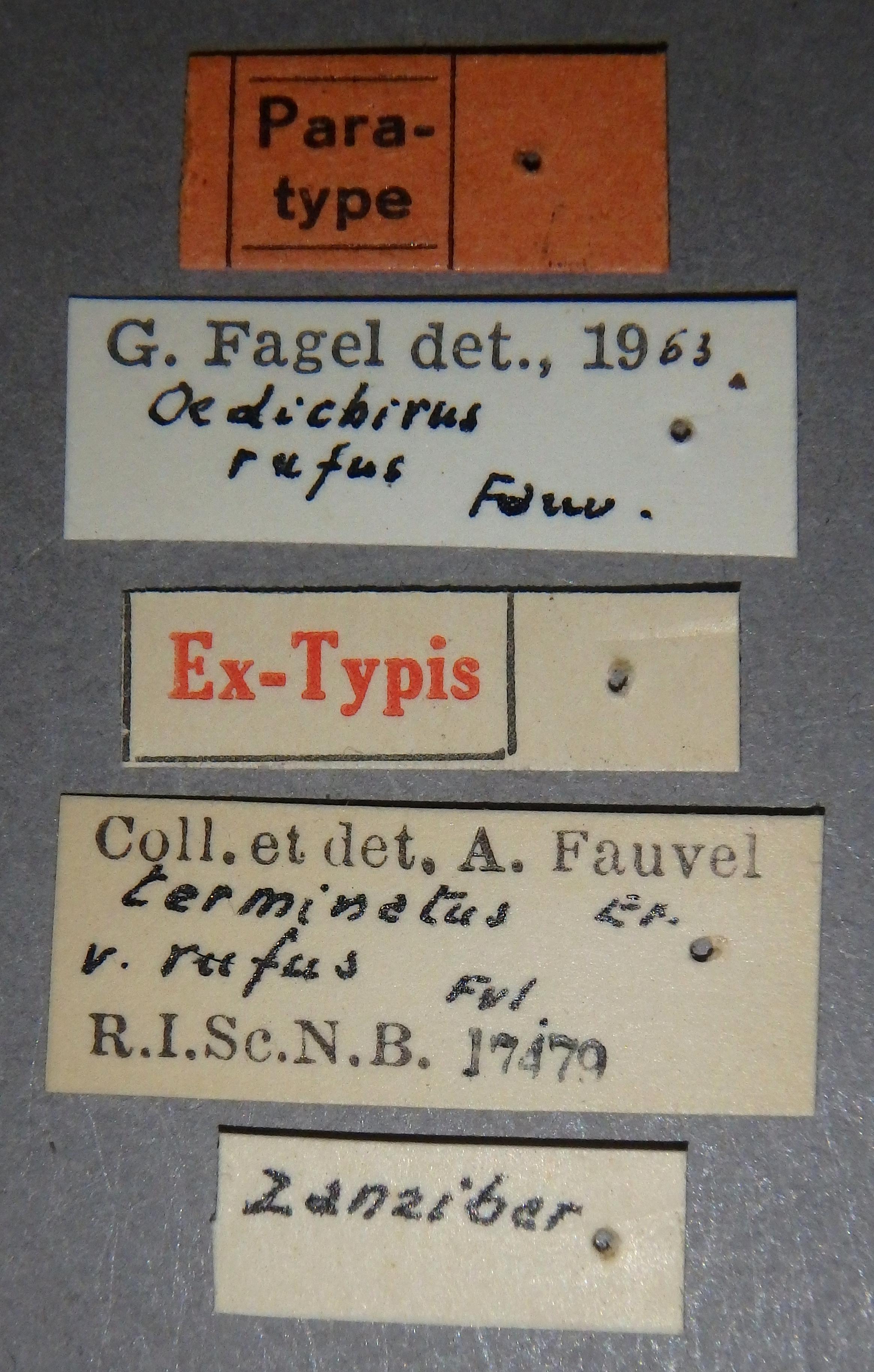 Oedichirus terminatus variety rufus pt Lb.JPG