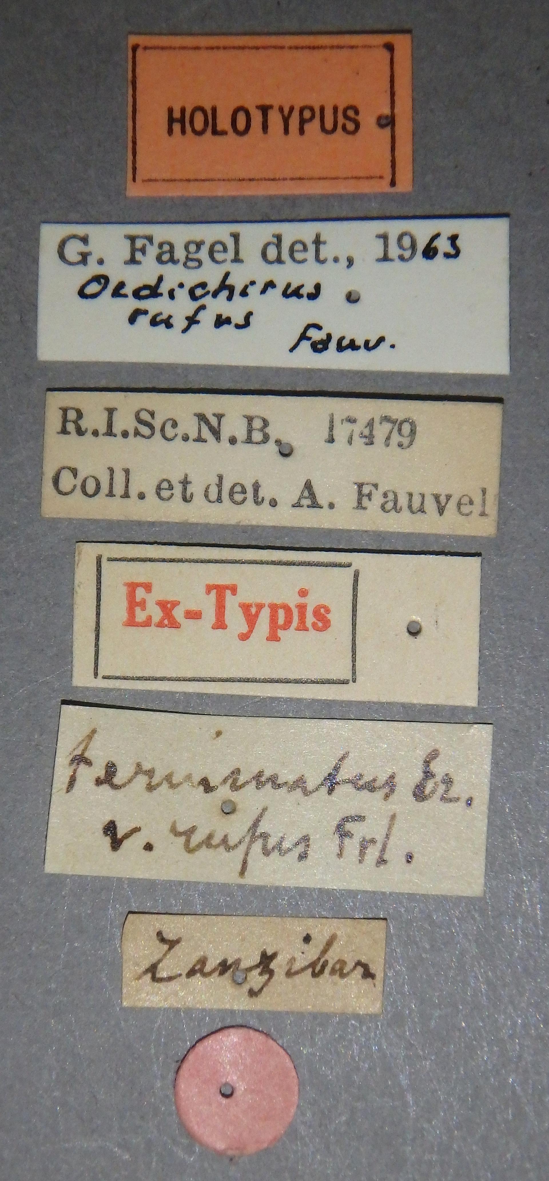Oedichirus terminatus variety rufus ht Lb.JPG