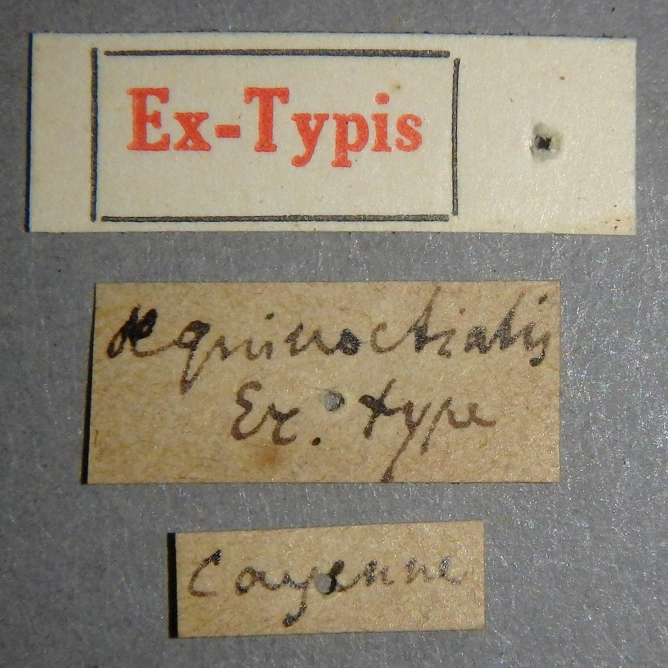 Paederus aequinoctialis et Lb.JPG